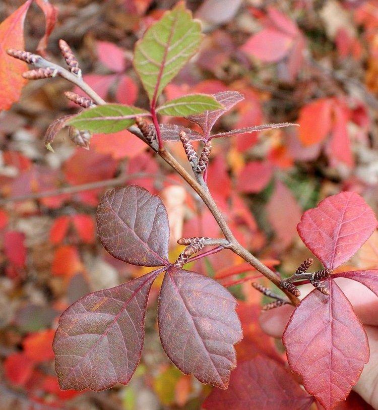 Fragrant Sumac (Rhus aromatica)