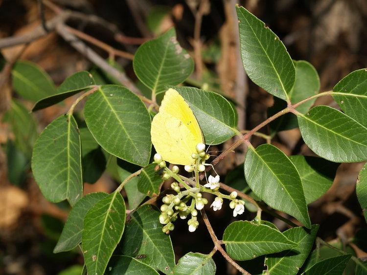 Big-Leaf Evergreen Sumac