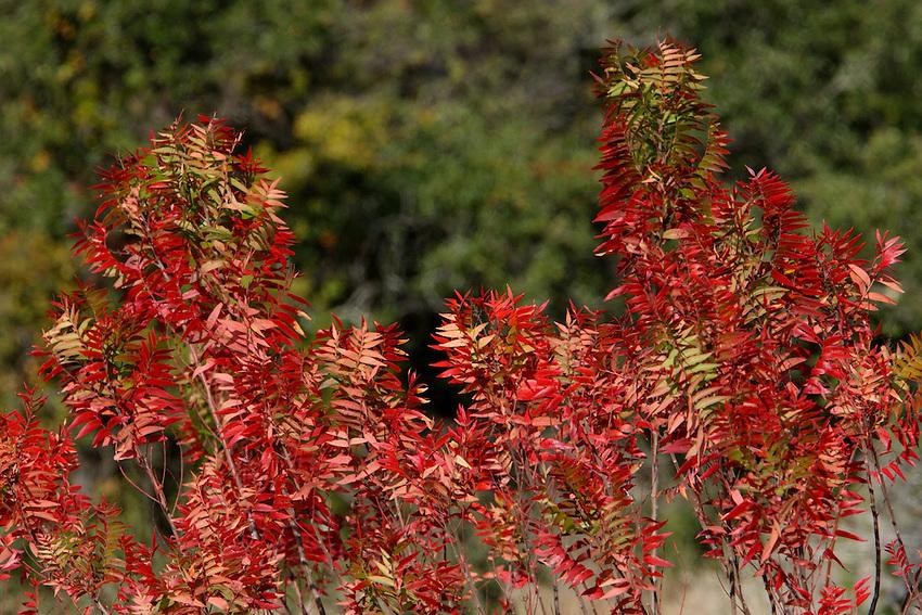 The Desert Prairie Flame Sumac (Rhus lanceolata) has gorgeous fall color.