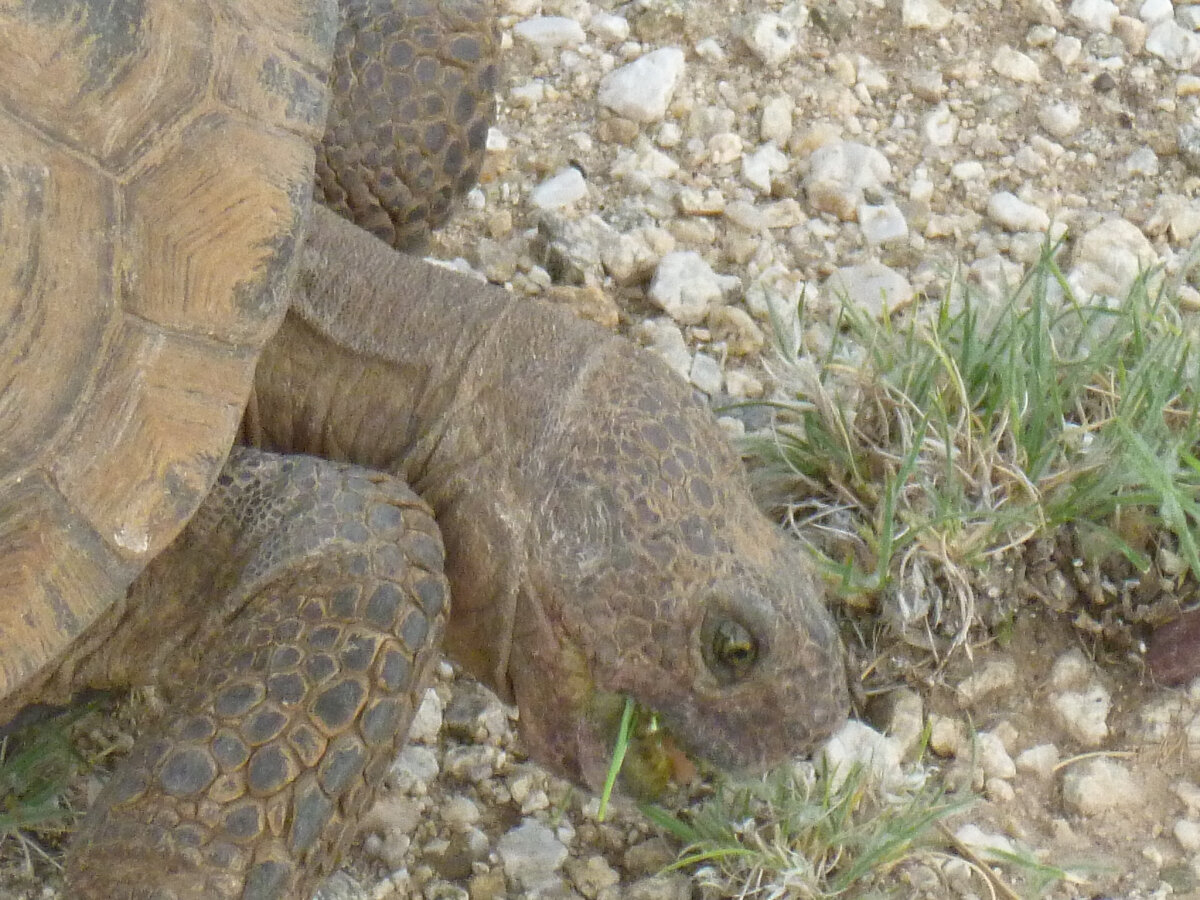 sonoran-desert-tortoise.jpg