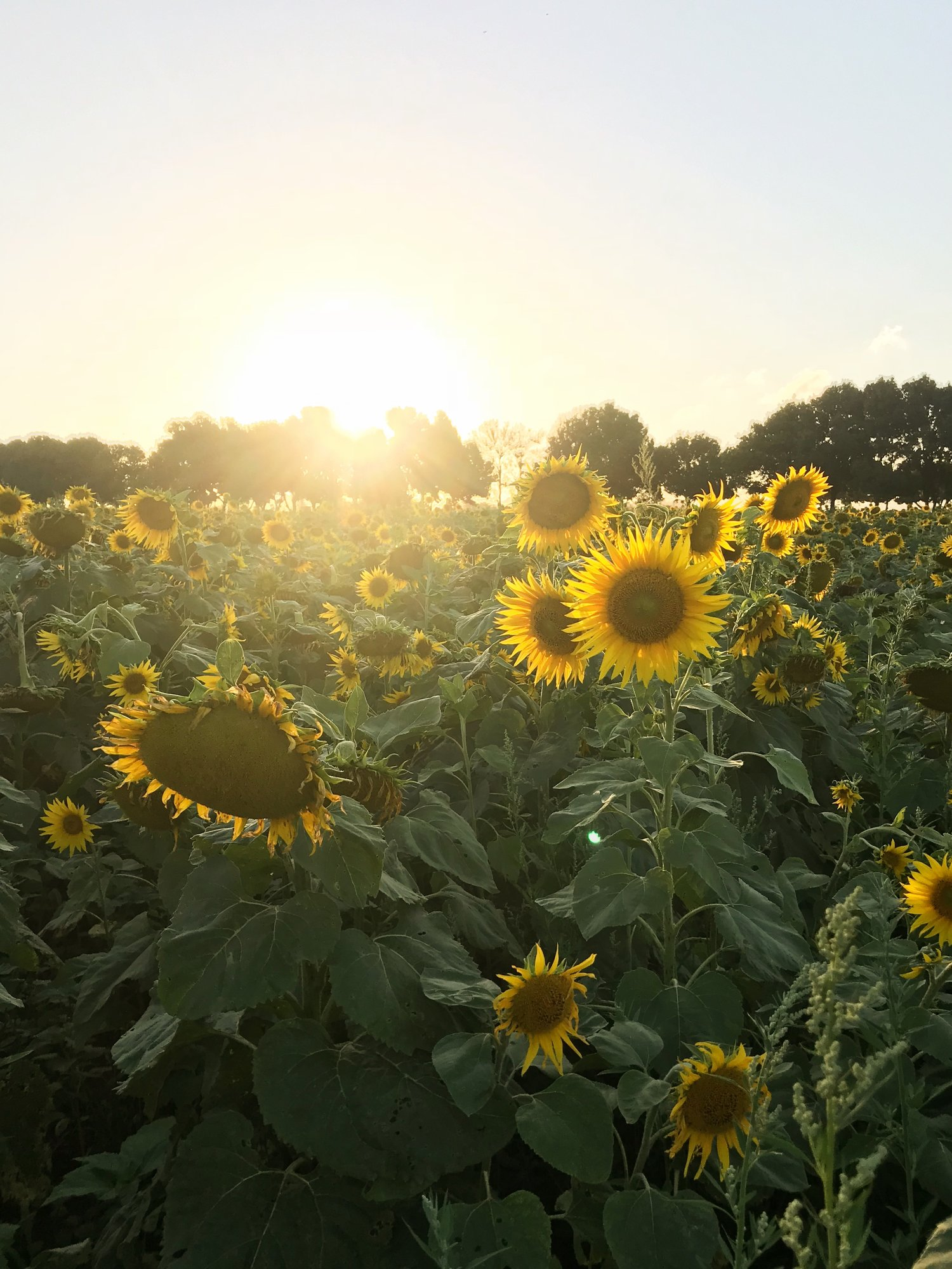 Sunflower Fields - Farm & Co - Kingscliff, New South Wales. (On border of Gold Coast Queensland)