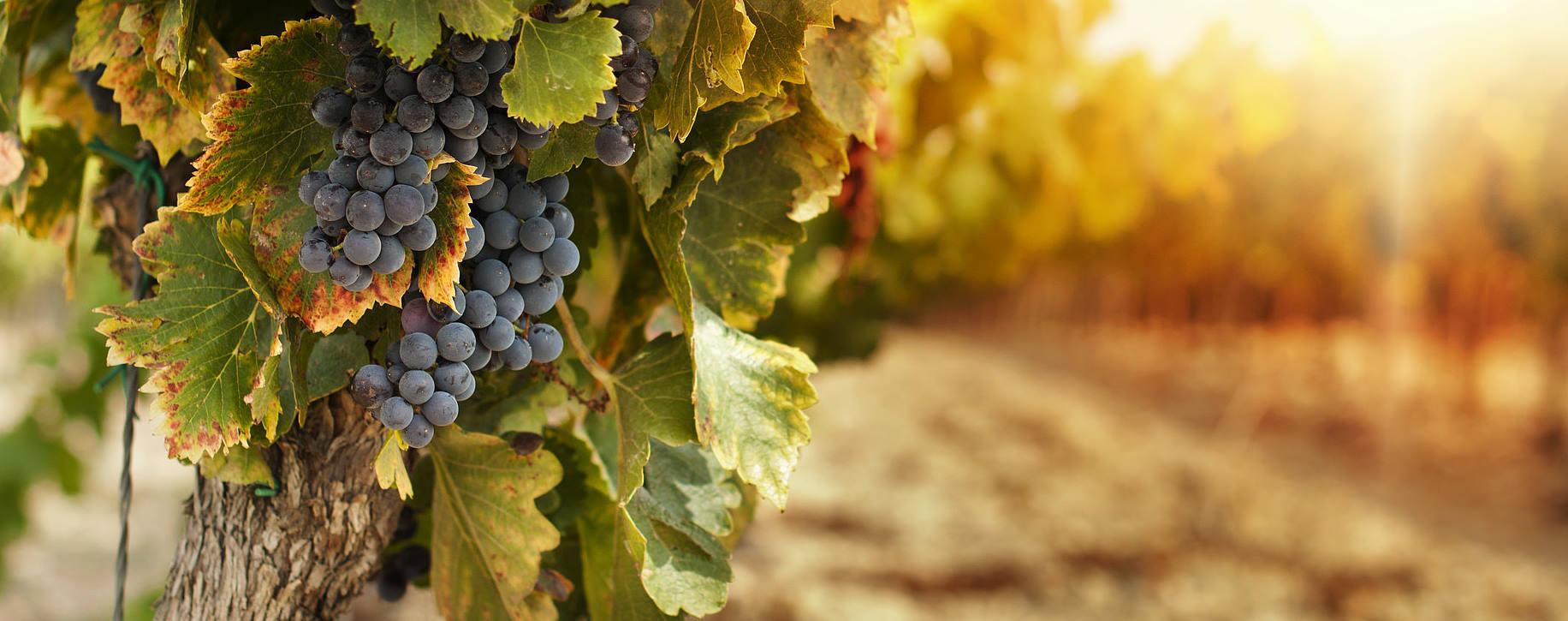 vinograd 4.jpg
