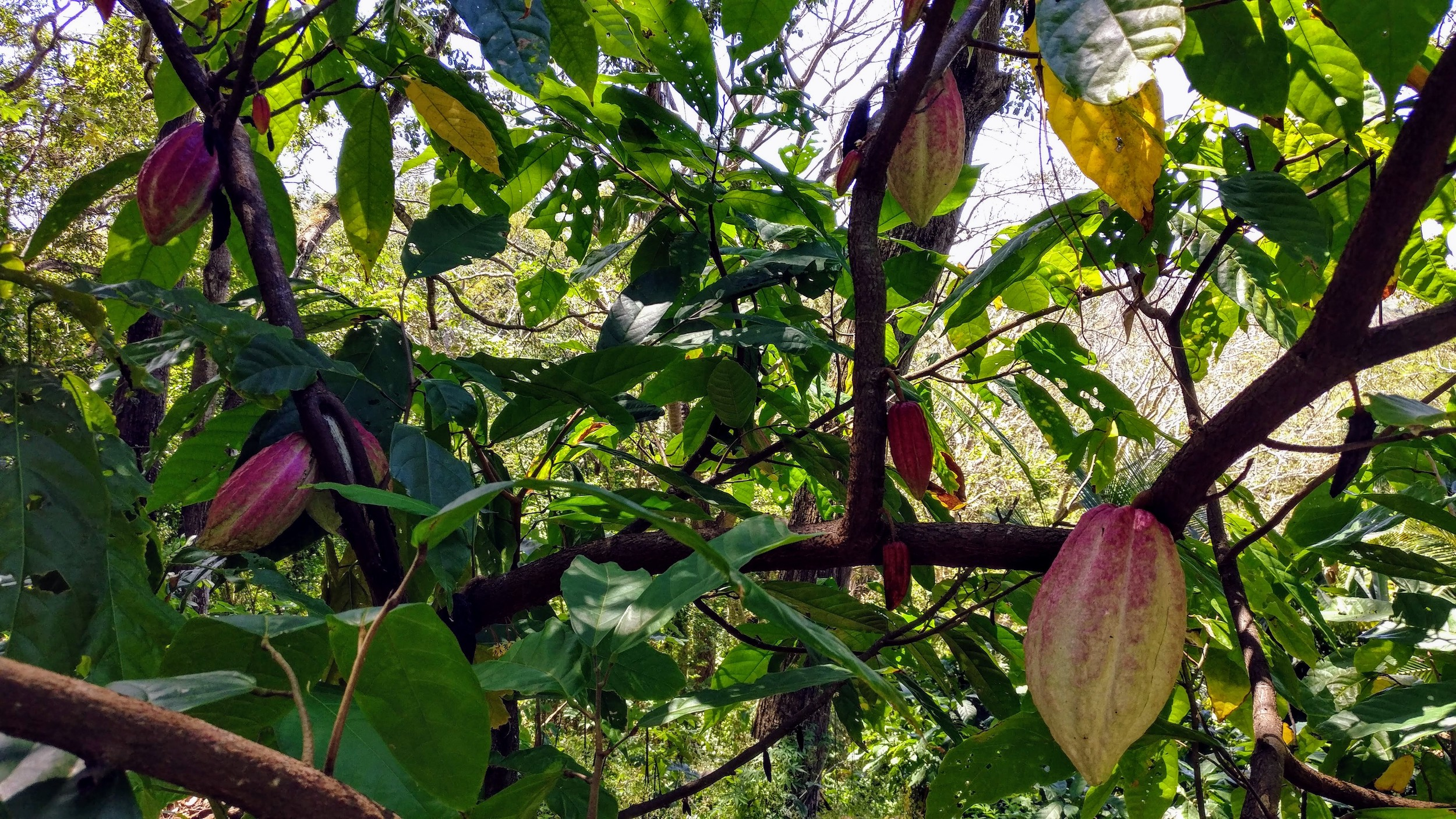 Criollo cacao pods growing around us at InanItah, Isla de Ometepe.