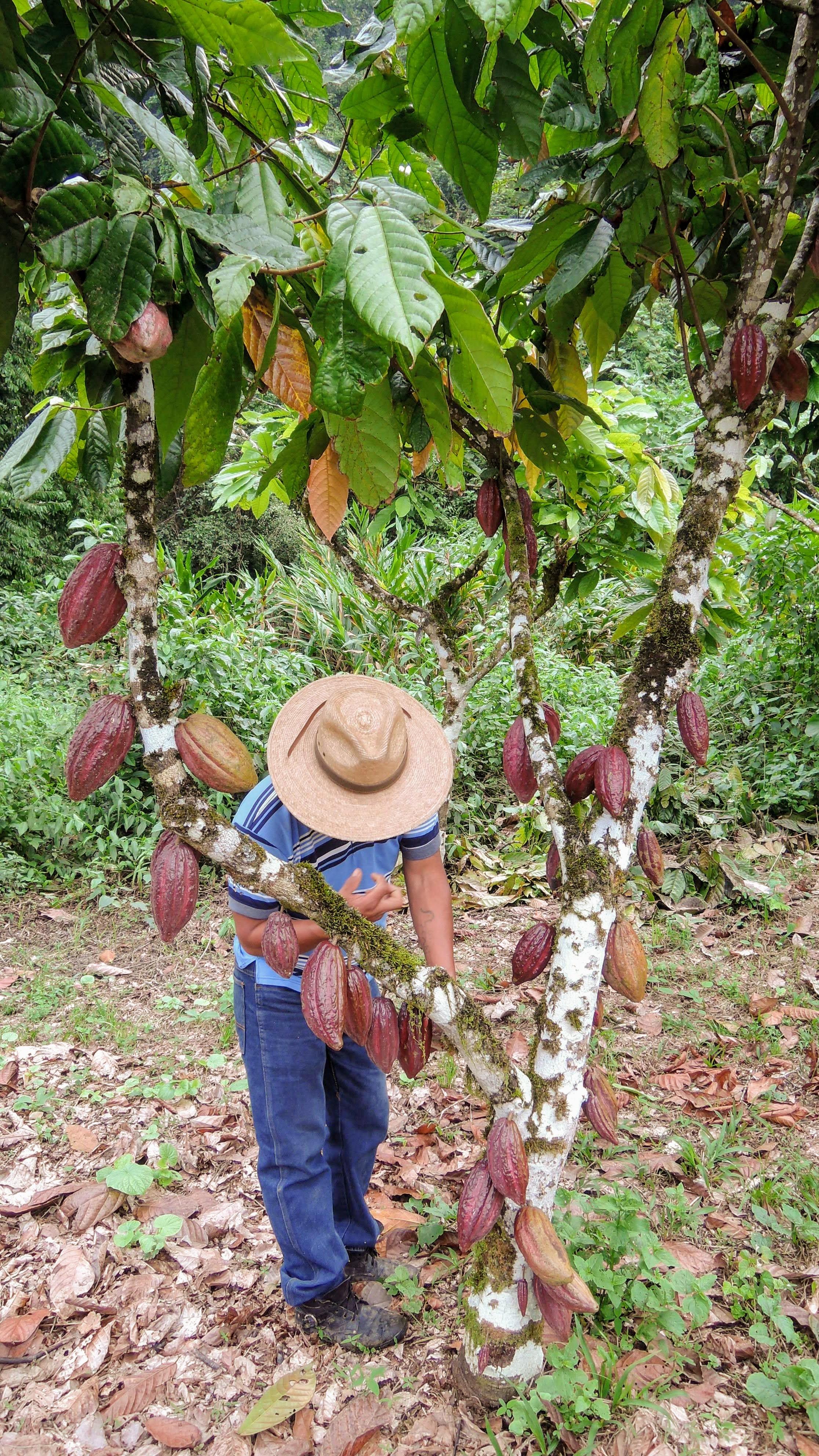 agroforestry-cacao-farmer-lachua.JPG