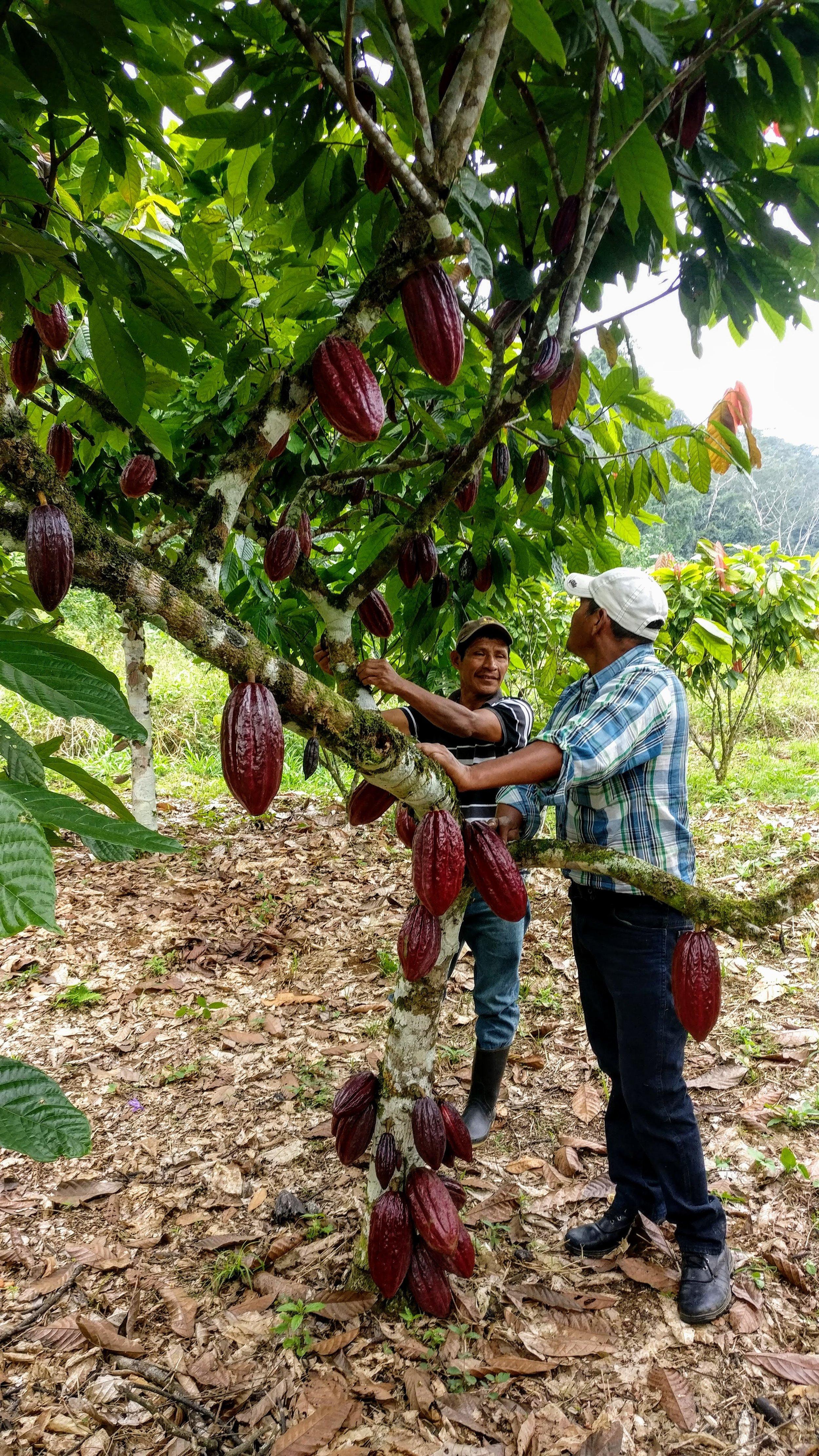 agroforestry-cacao-farmers-lachua.jpg