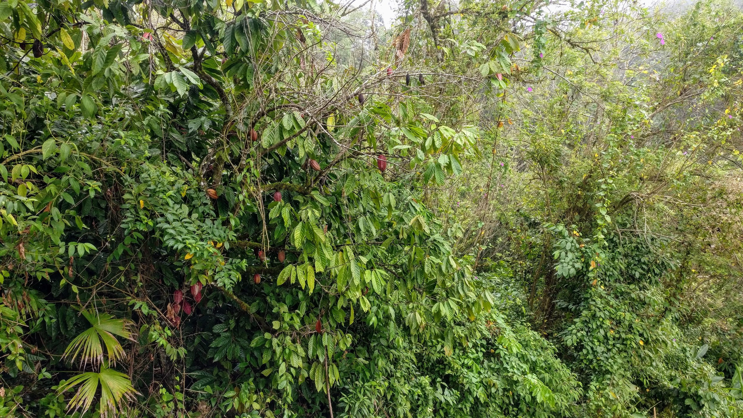 This cacao tree might be caught up a bit too much in the jungle around :-).