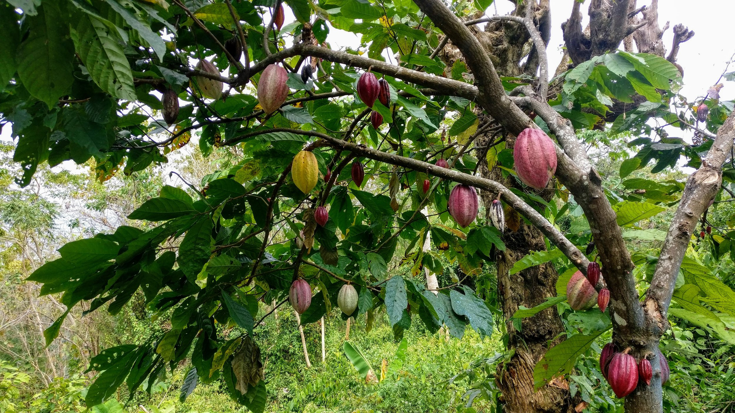Criollo cacao tree grown from seed with beautiful fruits.