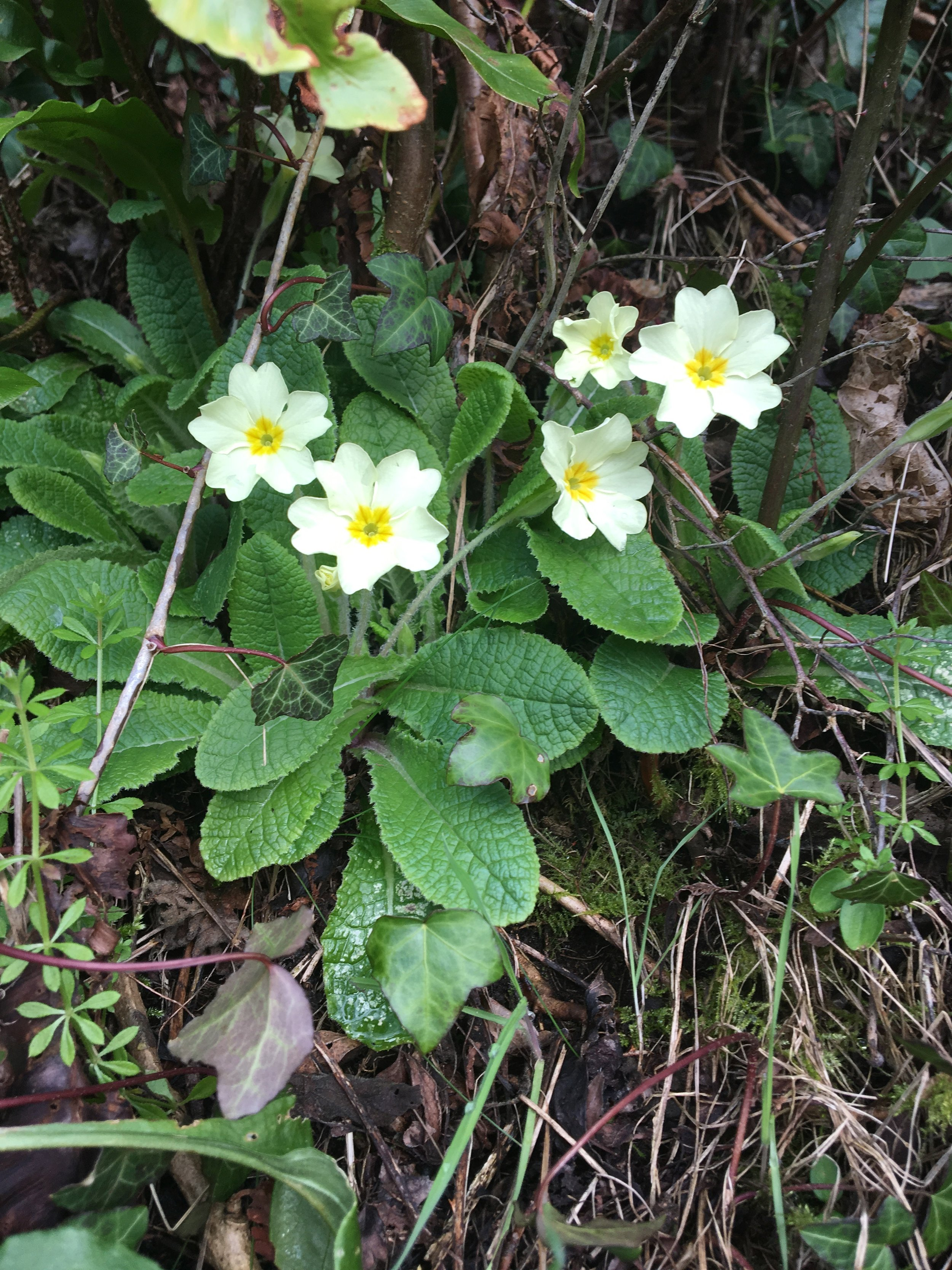 primroses first to show up.
