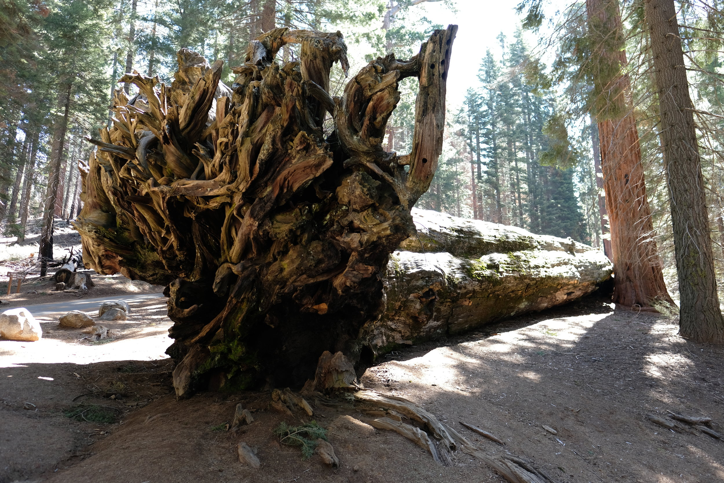 Fallen Sequoia    photo by L.D. Van Cleave