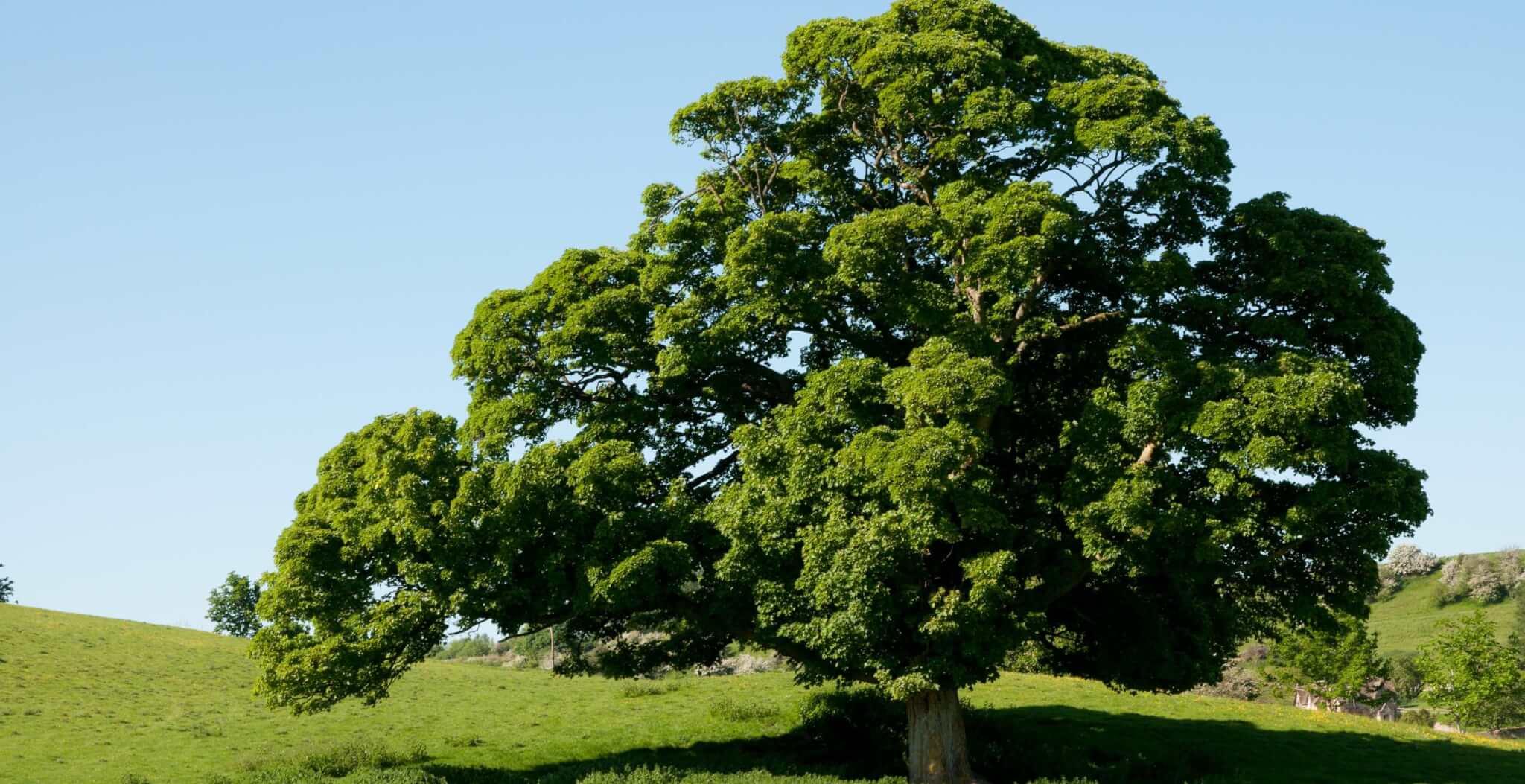 english-oak.jpg