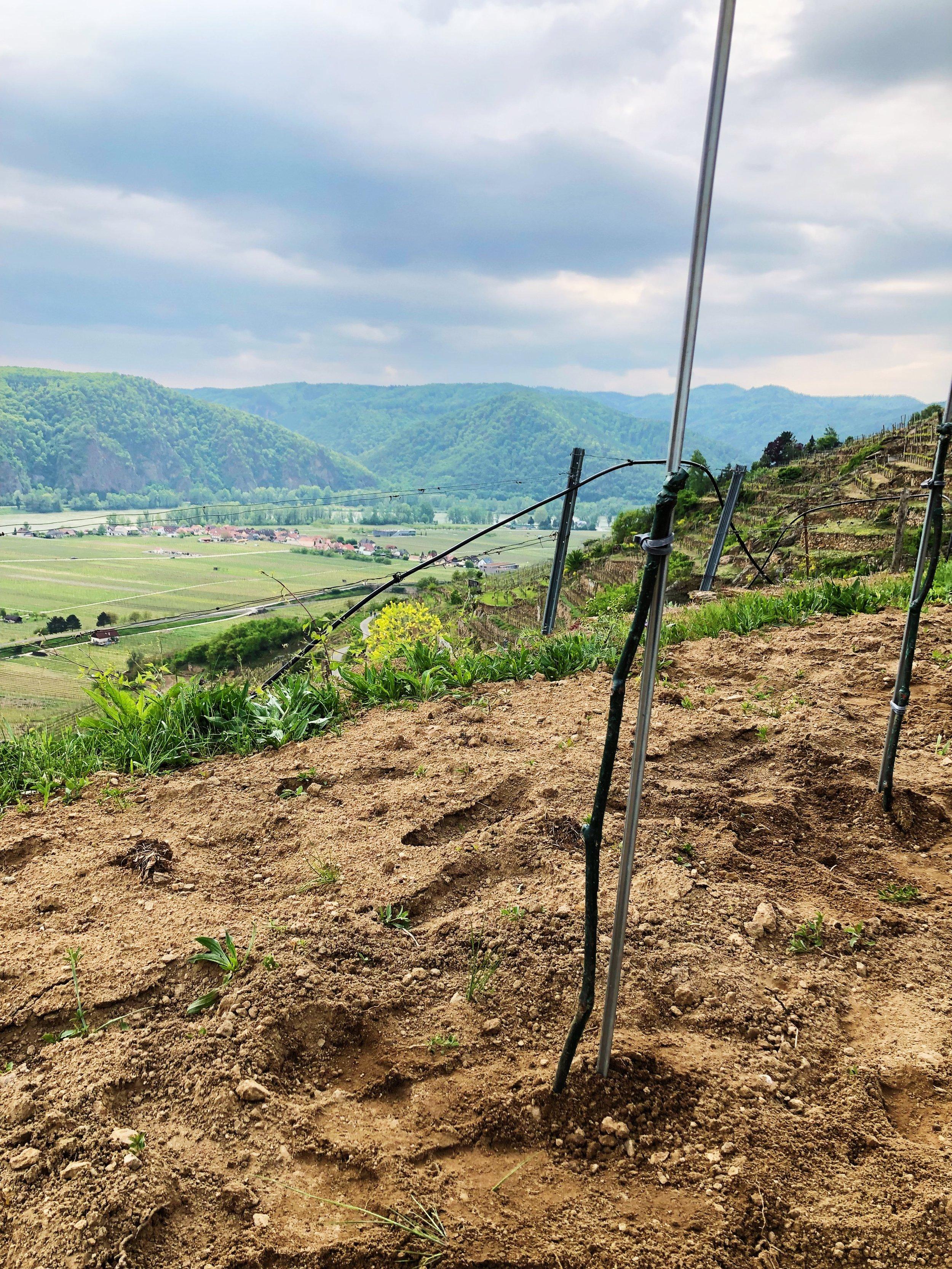 neuer Weingarten1.jpg