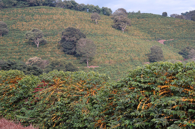 Yellow Bourbon on Fazenda Sertao