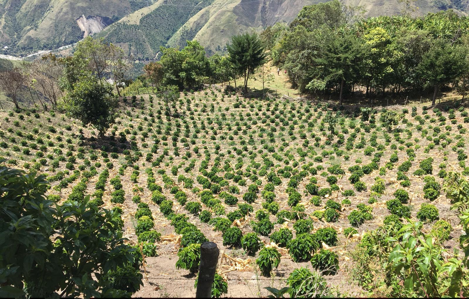 New plantings on Antonio Saavedra's farm, Finca El Placer