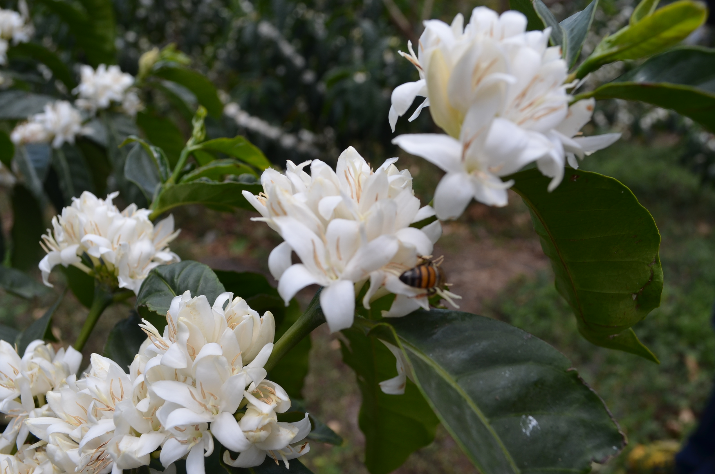 A flowering Sidra tree on the LPET farm, Cundinamarca, Colombia
