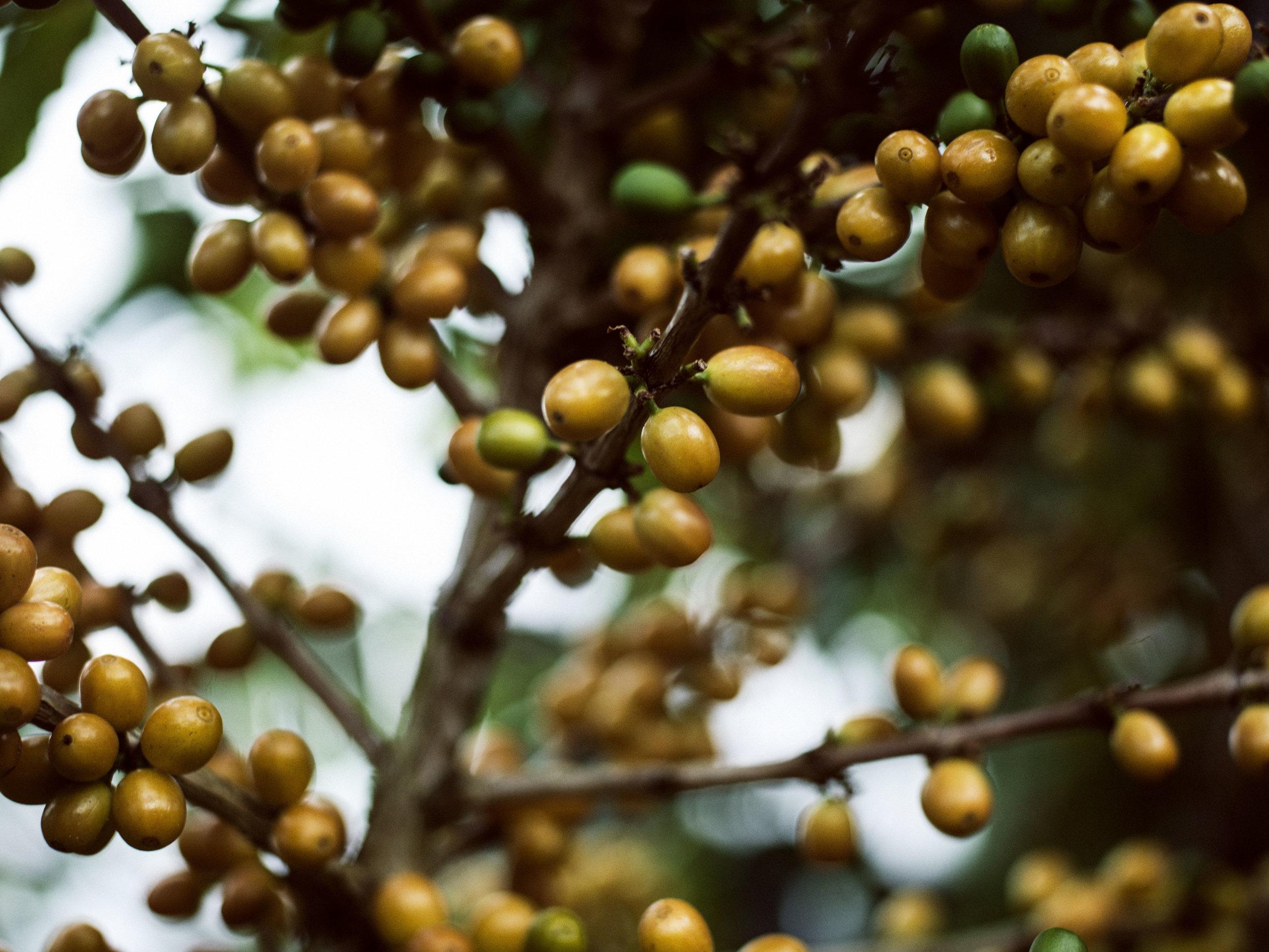2014_03_08_tk_for_better_coffee_honduras_hasselblad-321_final.jpg