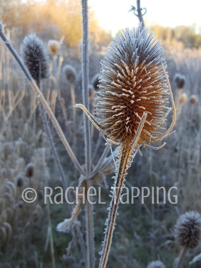 Frosted Teasel