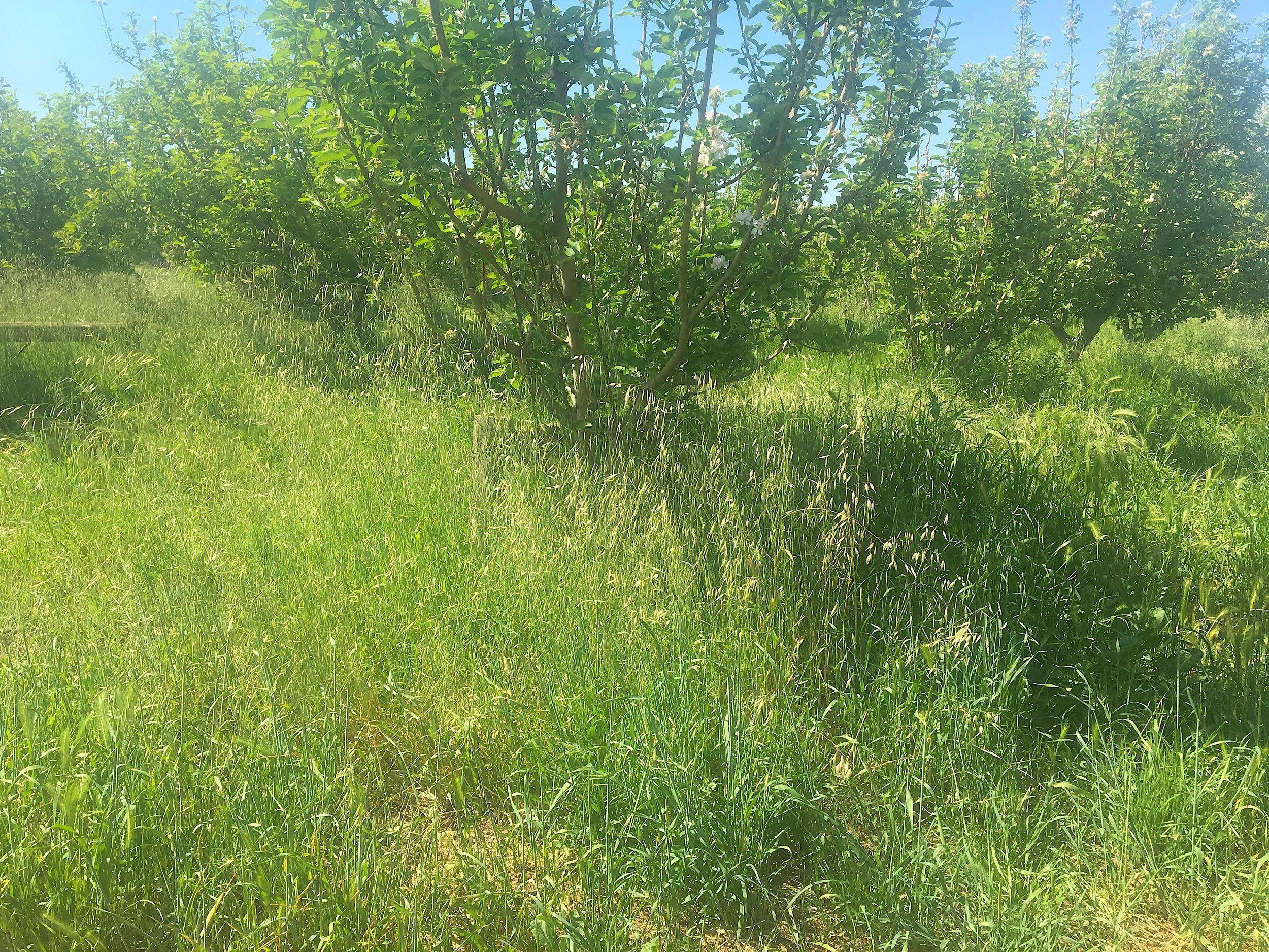 Tall grasses on the orchard floor
