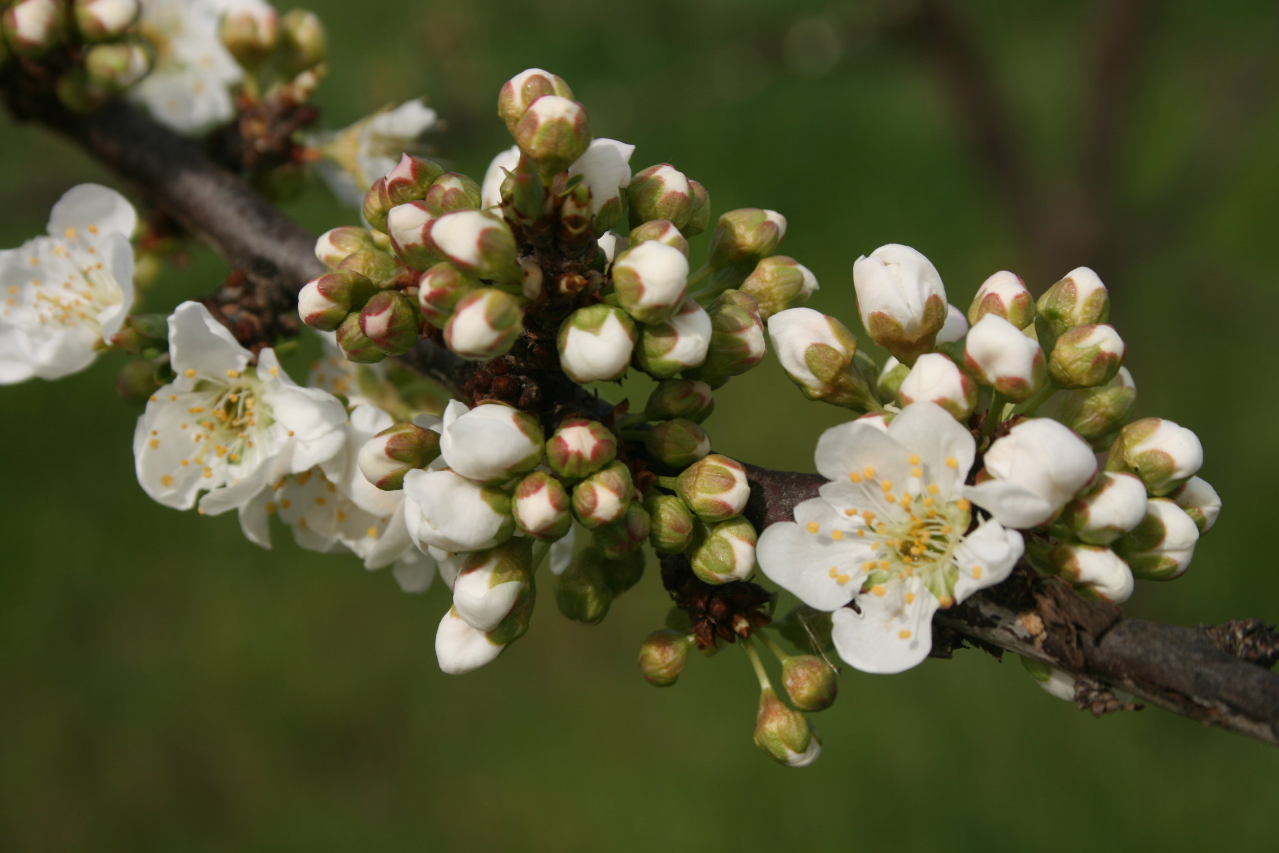 Clusters of plum blossoms ready to bloom!