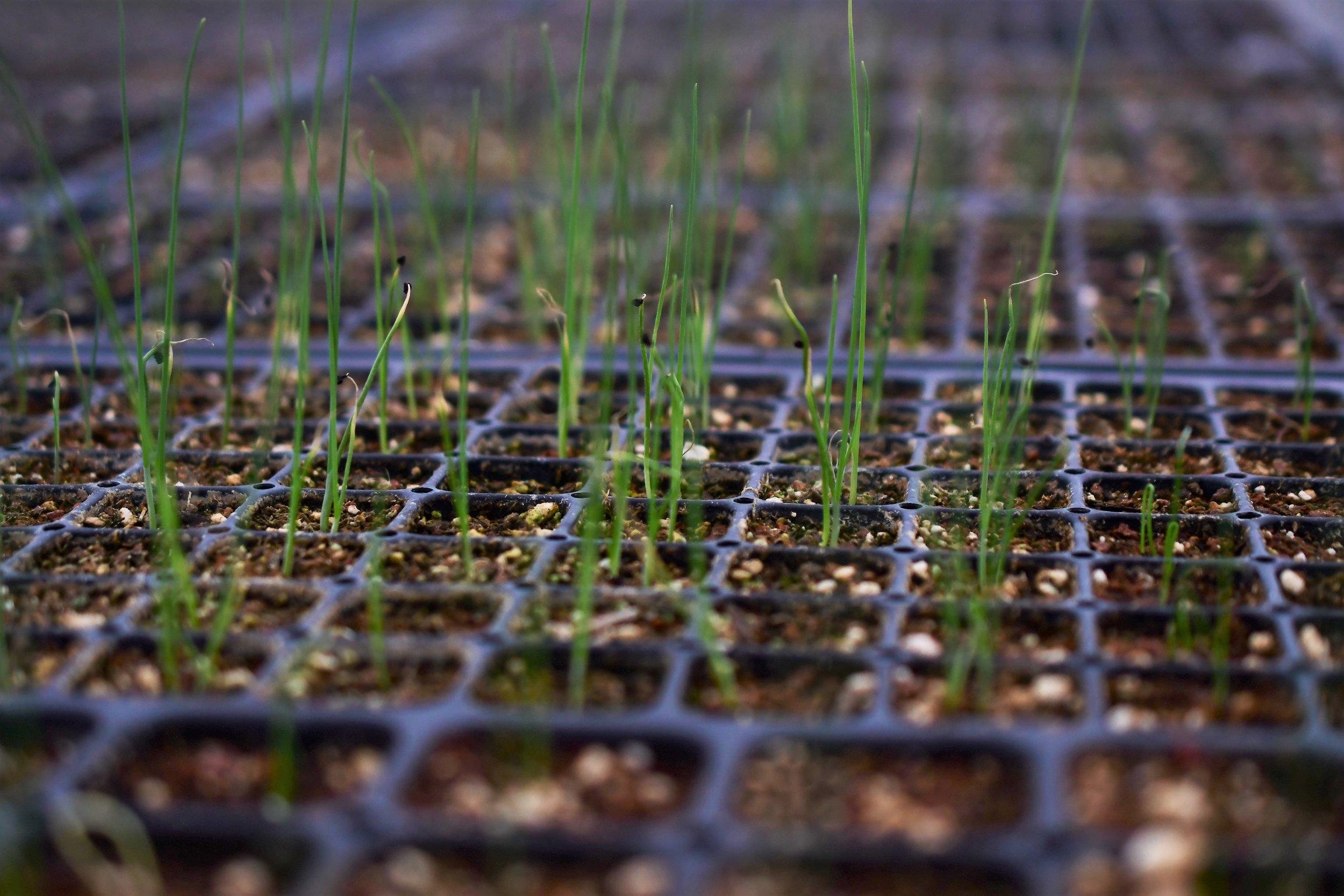 Leep Seedlings.jpg
