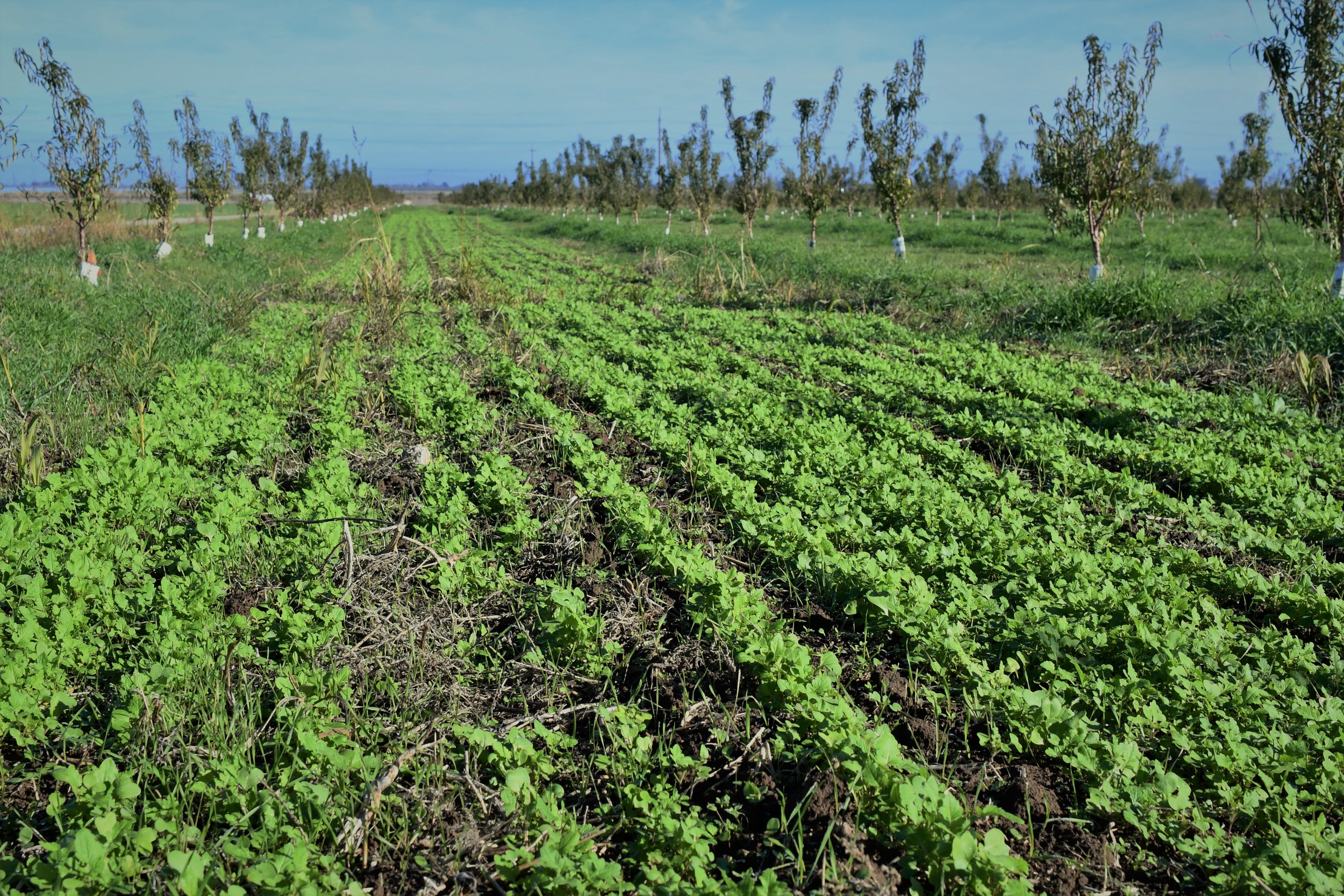 Mustard Mix cover crop in the new almond orchard