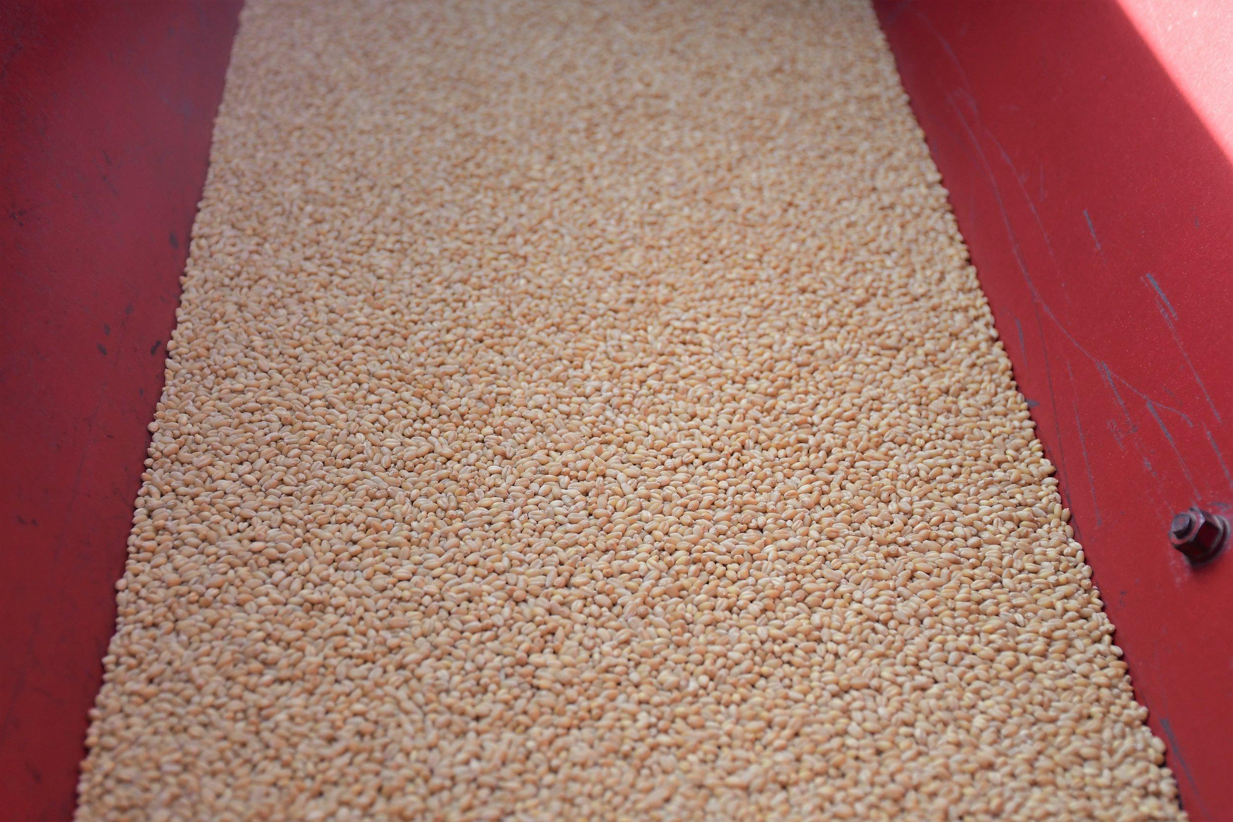 Sonora Wheat Berries 2.jpg