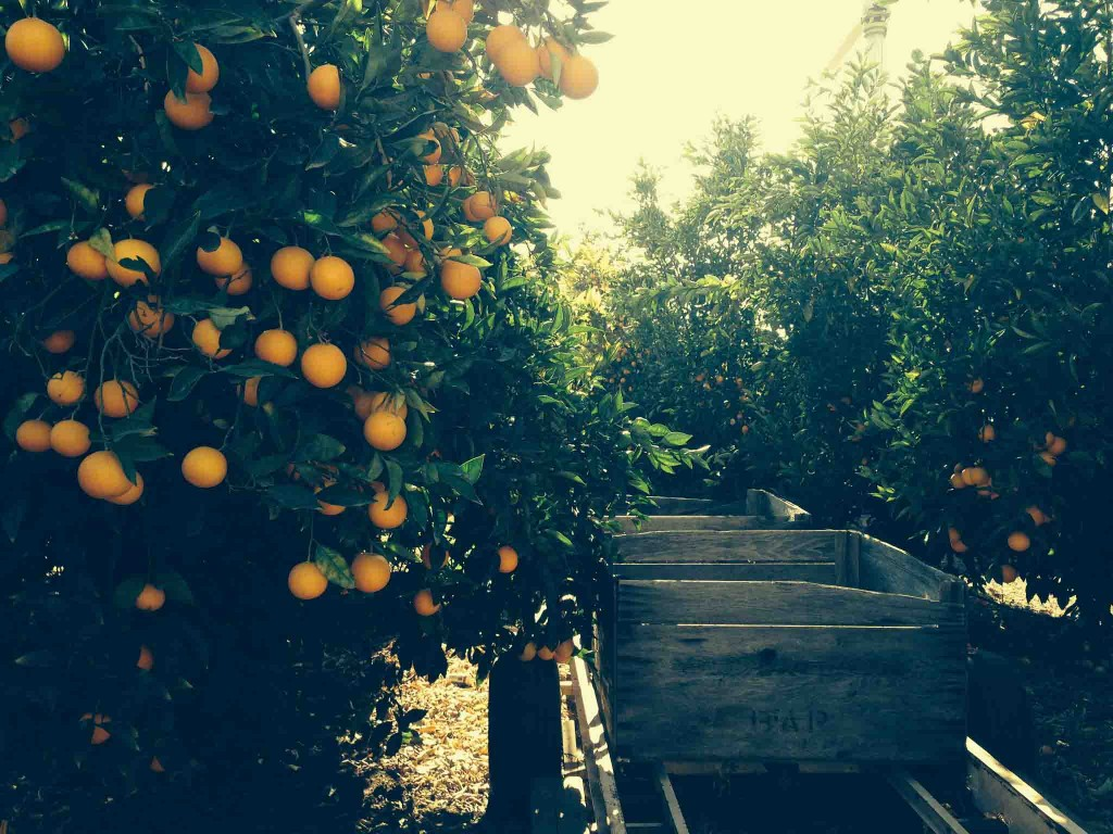 Our beautiful citrus orchard