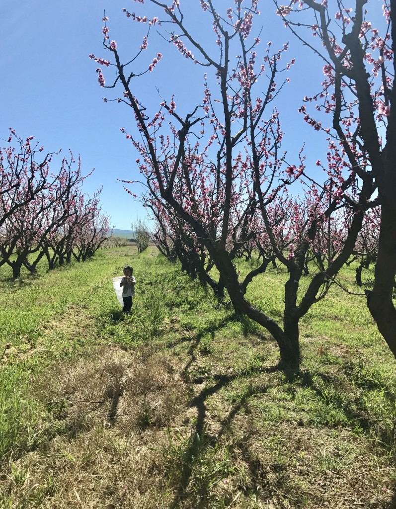child strolling through the orchard with a net
