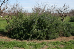 These native sage bushes have dozens of birds twittering away in them.