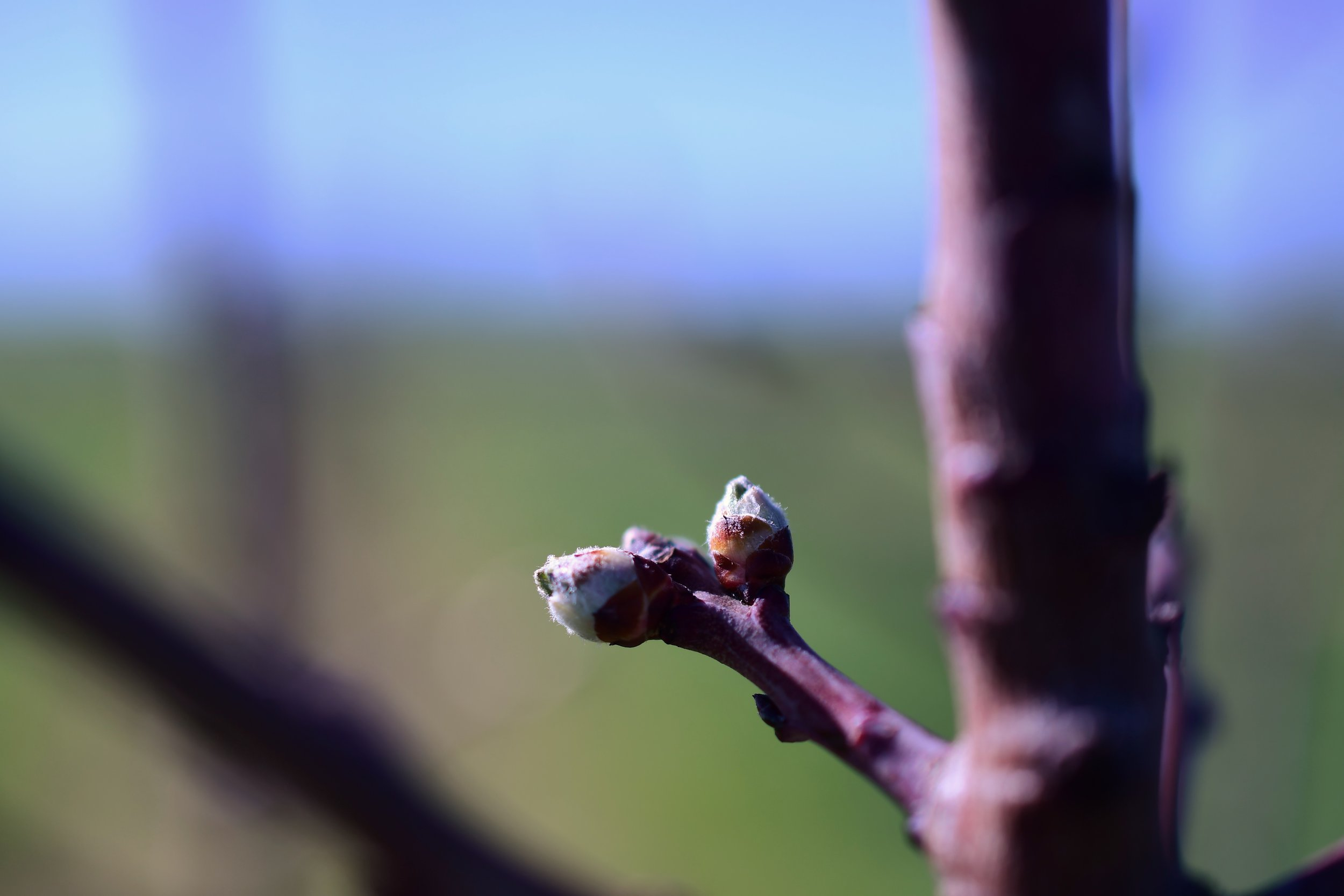Our young almonds are getting ready to bloom.