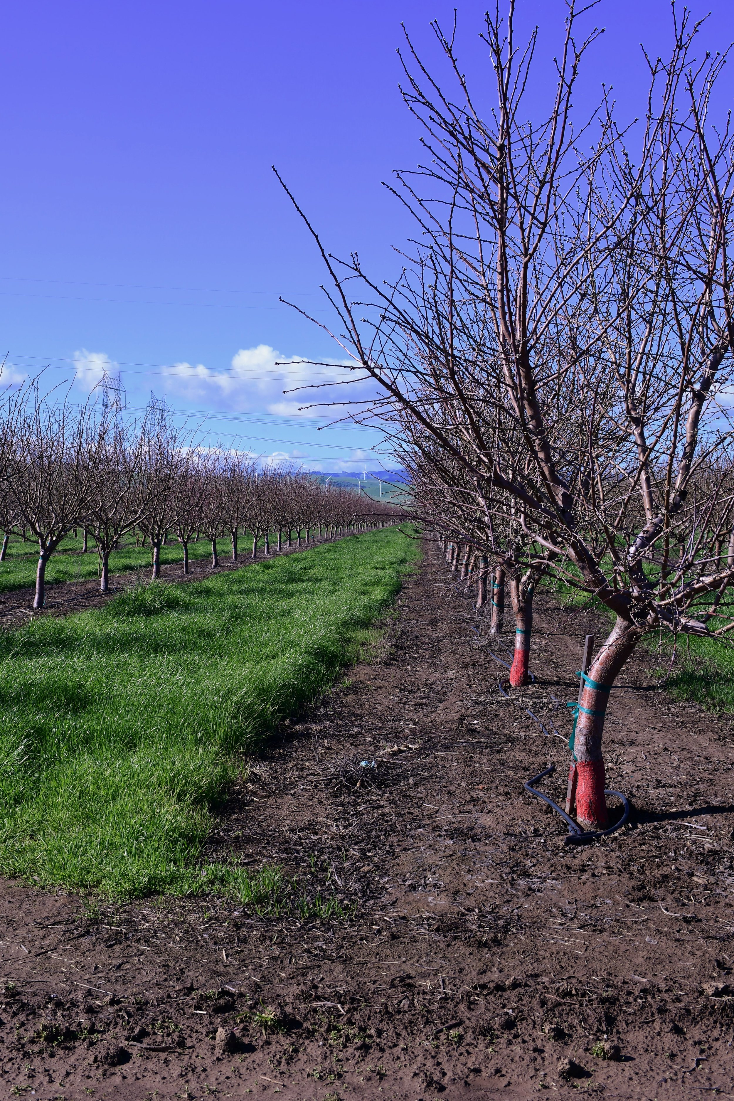 Conventional Orchard with herbicides