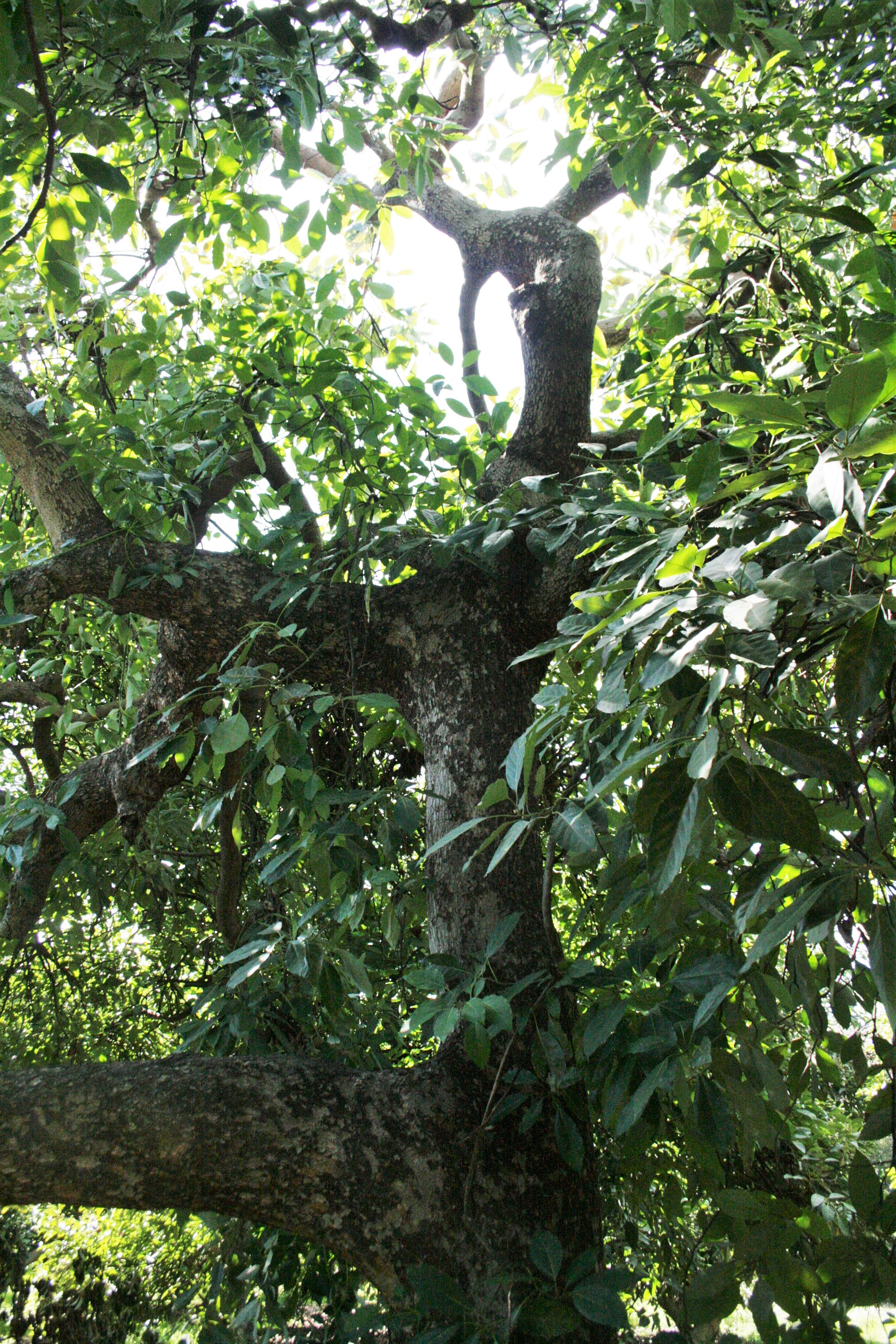 A large avocado tree's canopy shading the ground over its roots.