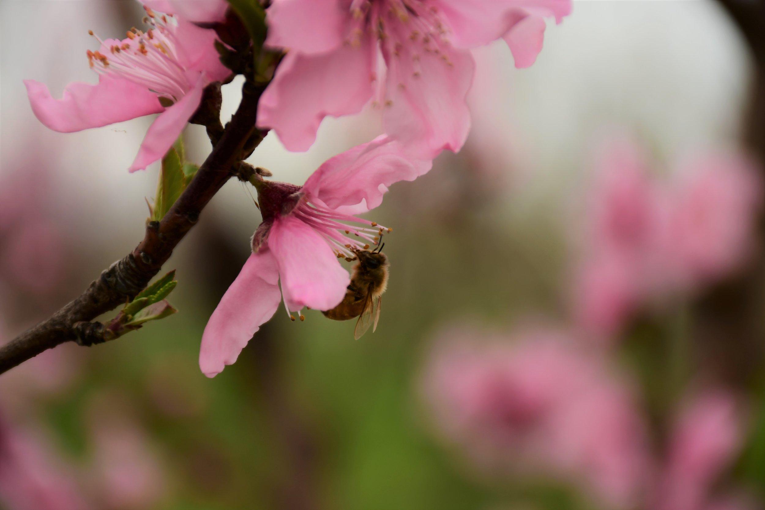 Bee in Galaxy Peach Blossom.jpg