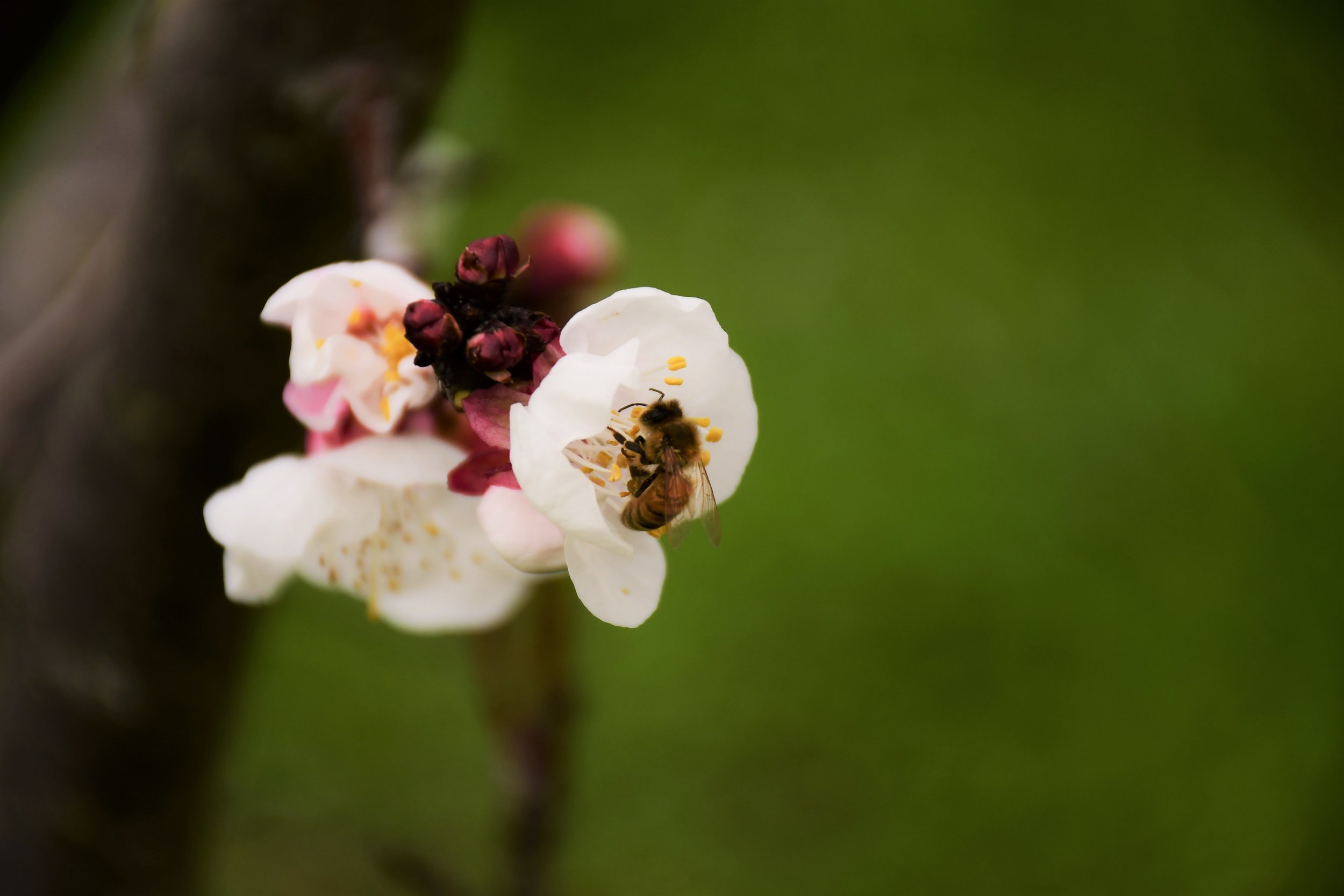Golden Sweet Blossom with Bee.jpg