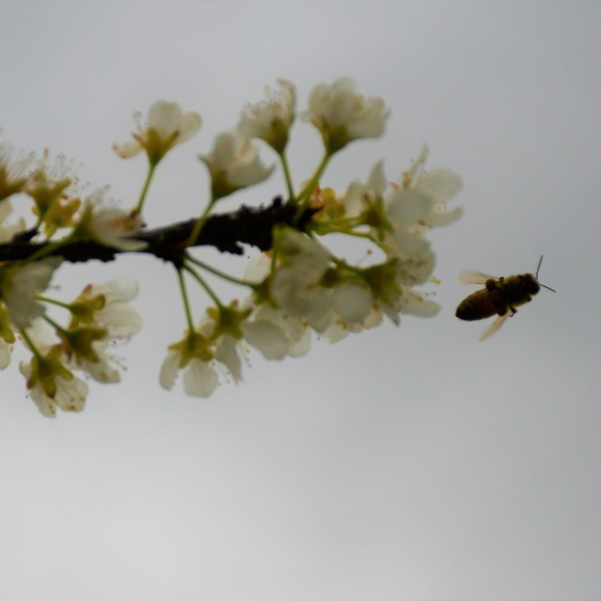 Dapple Dandy Blossom Bee flying.jpg