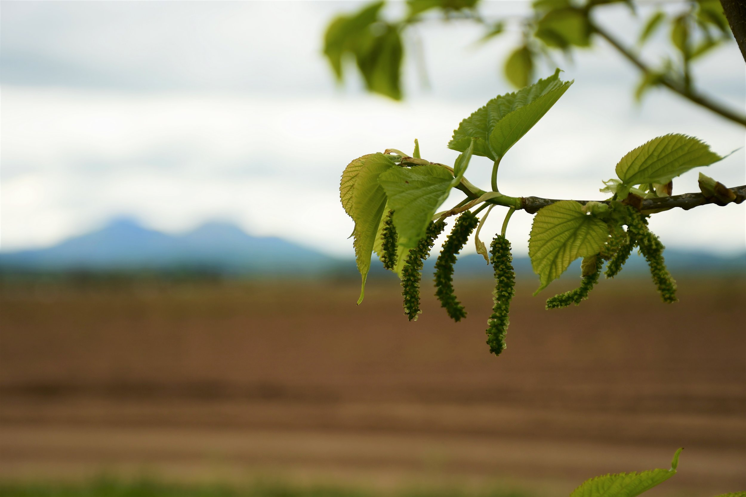 Mulberry blossom with Mt Diablo.jpg