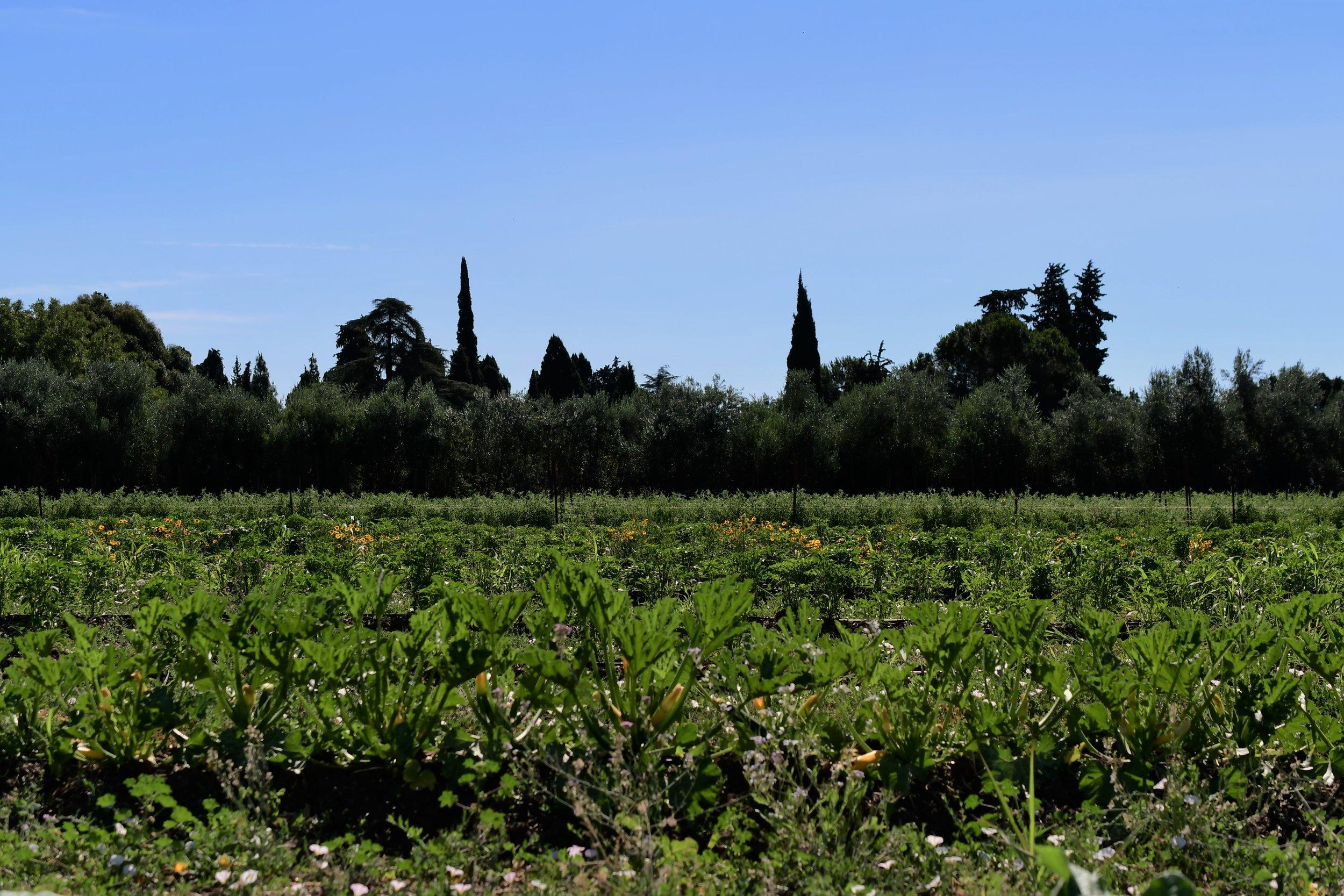 Veggie Field.jpg