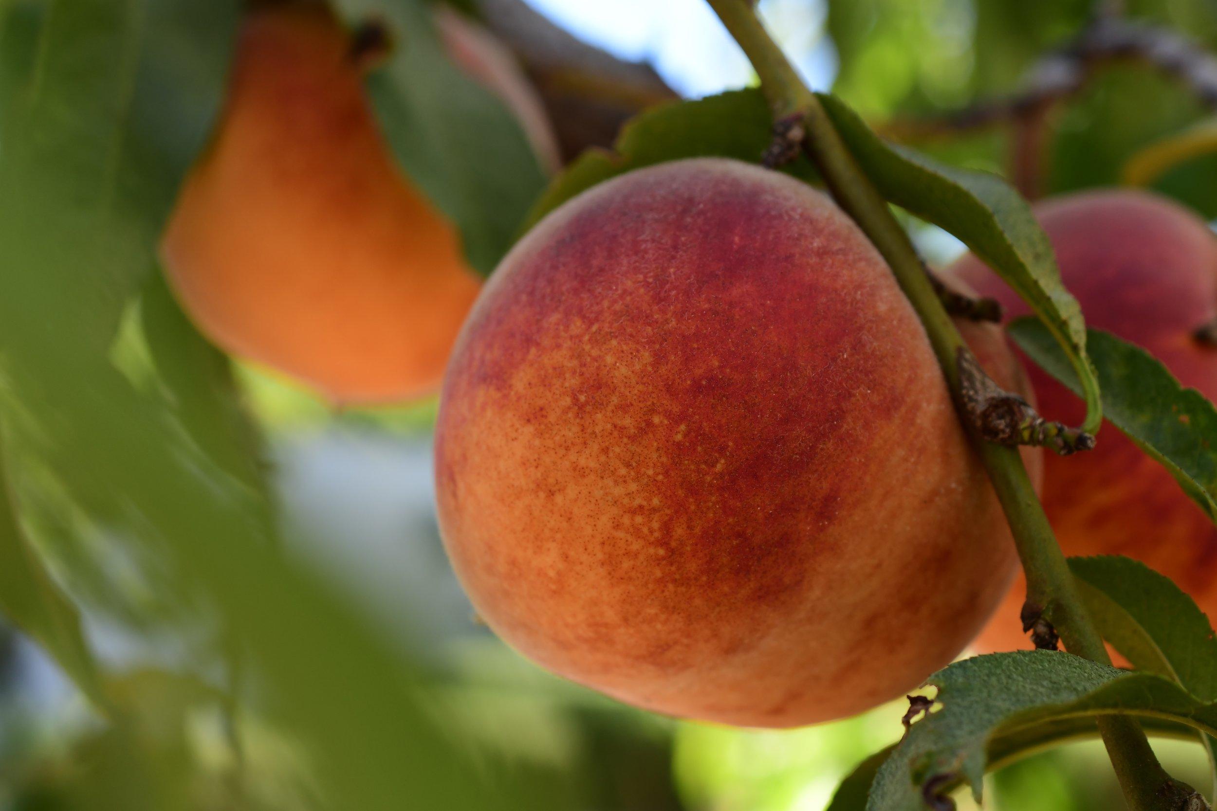 Peach on Tree Branch.jpg