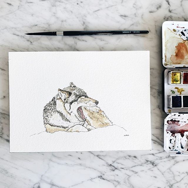 More completed #yawninganimals friends! Both 3 + 4 done from my series of 12. If you haven't figured it out already: they're all North American animals 🌲 I'm pleased to introduce to you Mr. Wolf and Mrs. Cougar 🐺💤🐱 peep my story highlight for the time-lapse process videos! okay now ready for the @bacheloretteabc hometown visits!!! #mallorymccamyart #yawninganimals #yawningwolf #yawningmountainlion #yawningcougar #yawningpuma #nationalgeographic #artist #watercolorillustration #watercolor #illustration
