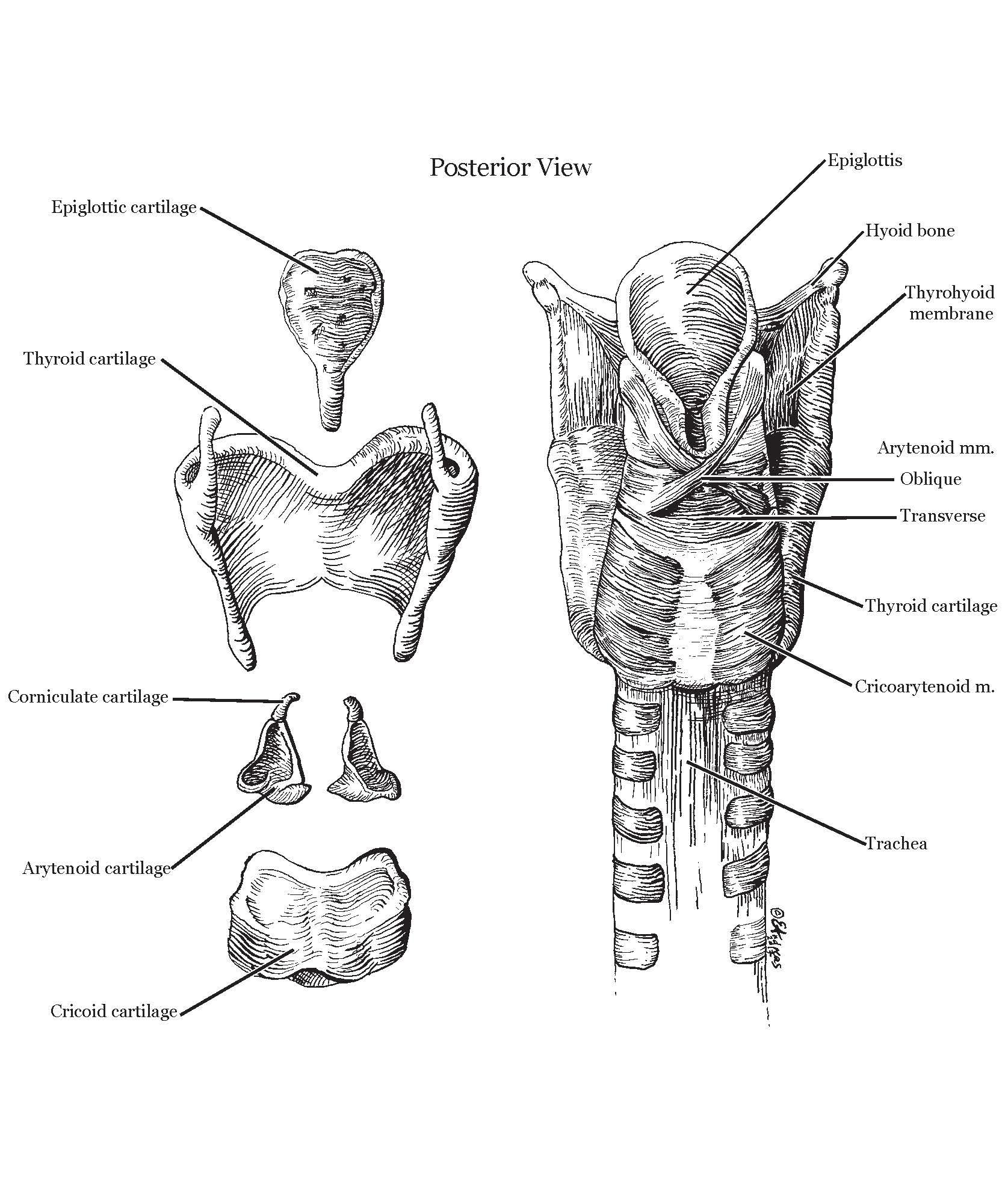 Anatomical Line Illustration | Pen & Ink