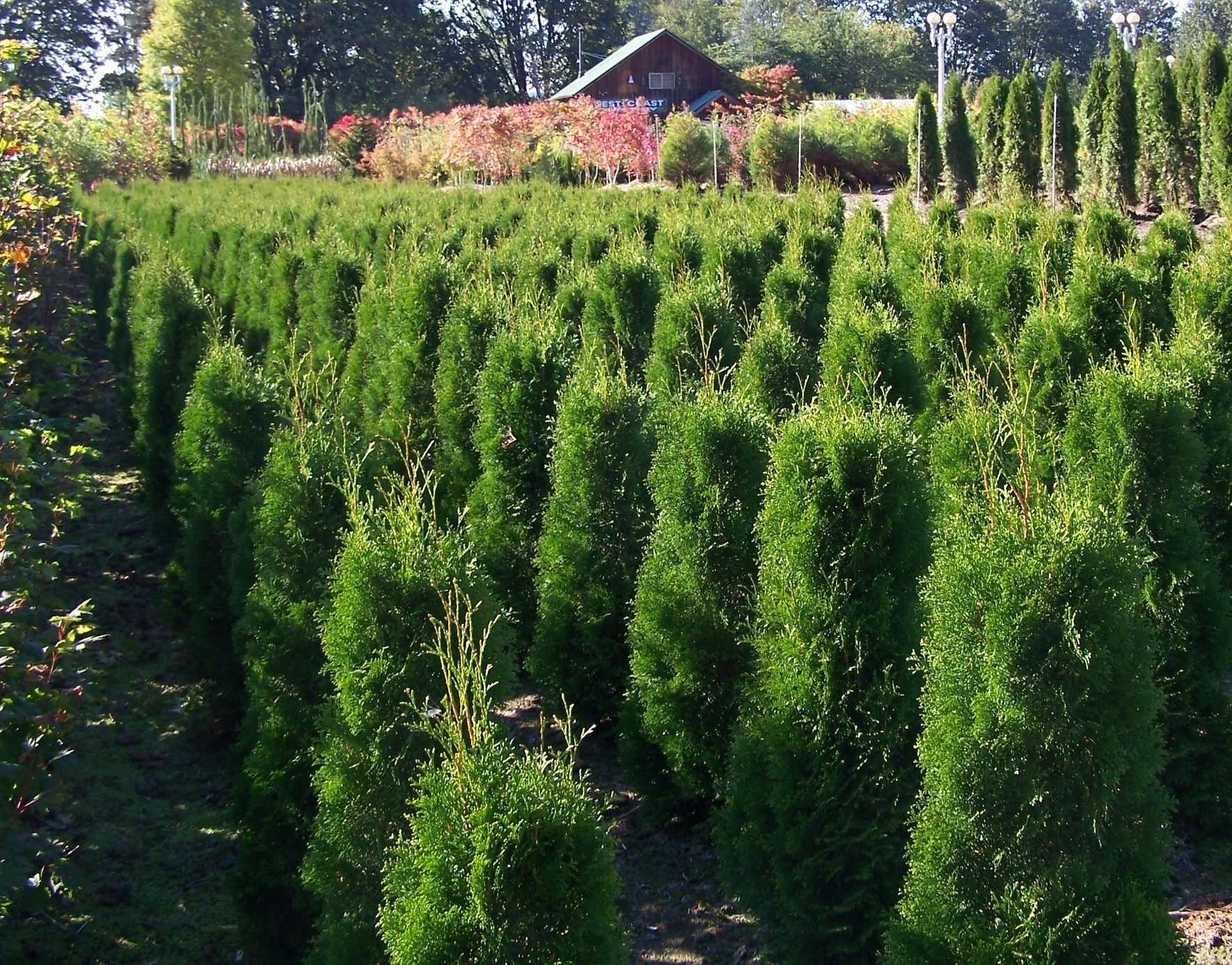 Open to the Public - For more than 25 years, we have been growing conifers, flowering and shade trees, and privacy hedges appropriate for Western and Eastern Washington and carry a range of Northwest grown container perennials to complete your garden project. We specialize in growing Japanese Maples, Red Maples, Katsura, Stewartia, Dogwoods, Excelsa Cedar, Hinoki Cypress, Laurels, Emerald Green Arborvitae, and many more!