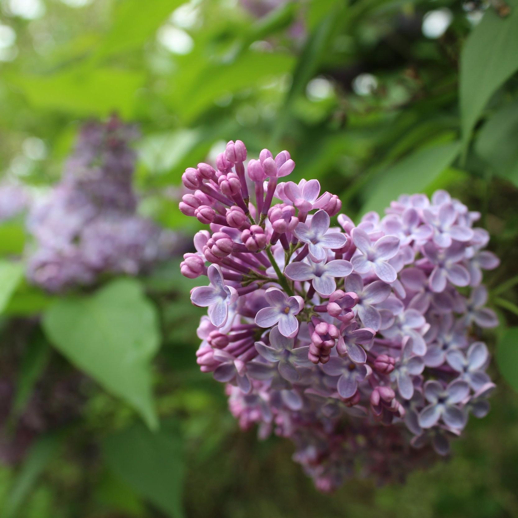 Lilac close up.JPG