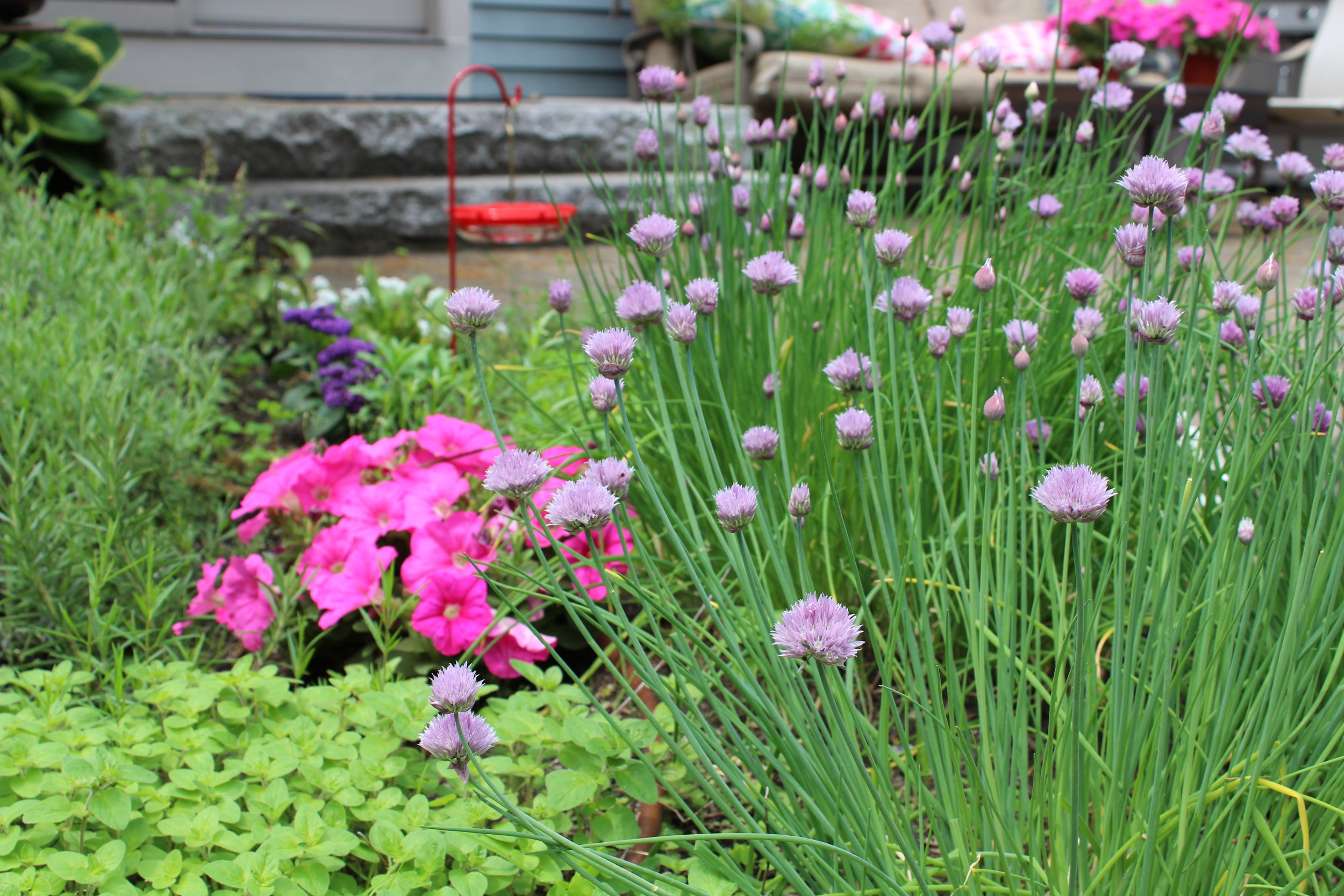 Chives are the anchor to my spring herb garden