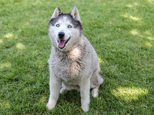 Fall in love with this face! It's Girly-Blue, a beautiful 12 years young husky! She is currently a guest at @spcala's Long Beach shelter, and we are sponsoring her adoption fee. Tell all of your California friends! 📳  #spcaLA #longbeach #adopt #adoptshelterdog #friendsforlife #spcaLALongBeach #theurbansidekick #dogsofinstagram #dogsofinsta #dogstagram #rescuedog #rescuedogsofinstagram #rescuedismyfavoritebreed #dog #doggram #pet #pets #instagramdogs #lovedogs #doglover #doggy #dogoftheday #instadog #doglife #dogsofinstaworld #smallbusiness #smallbiz
