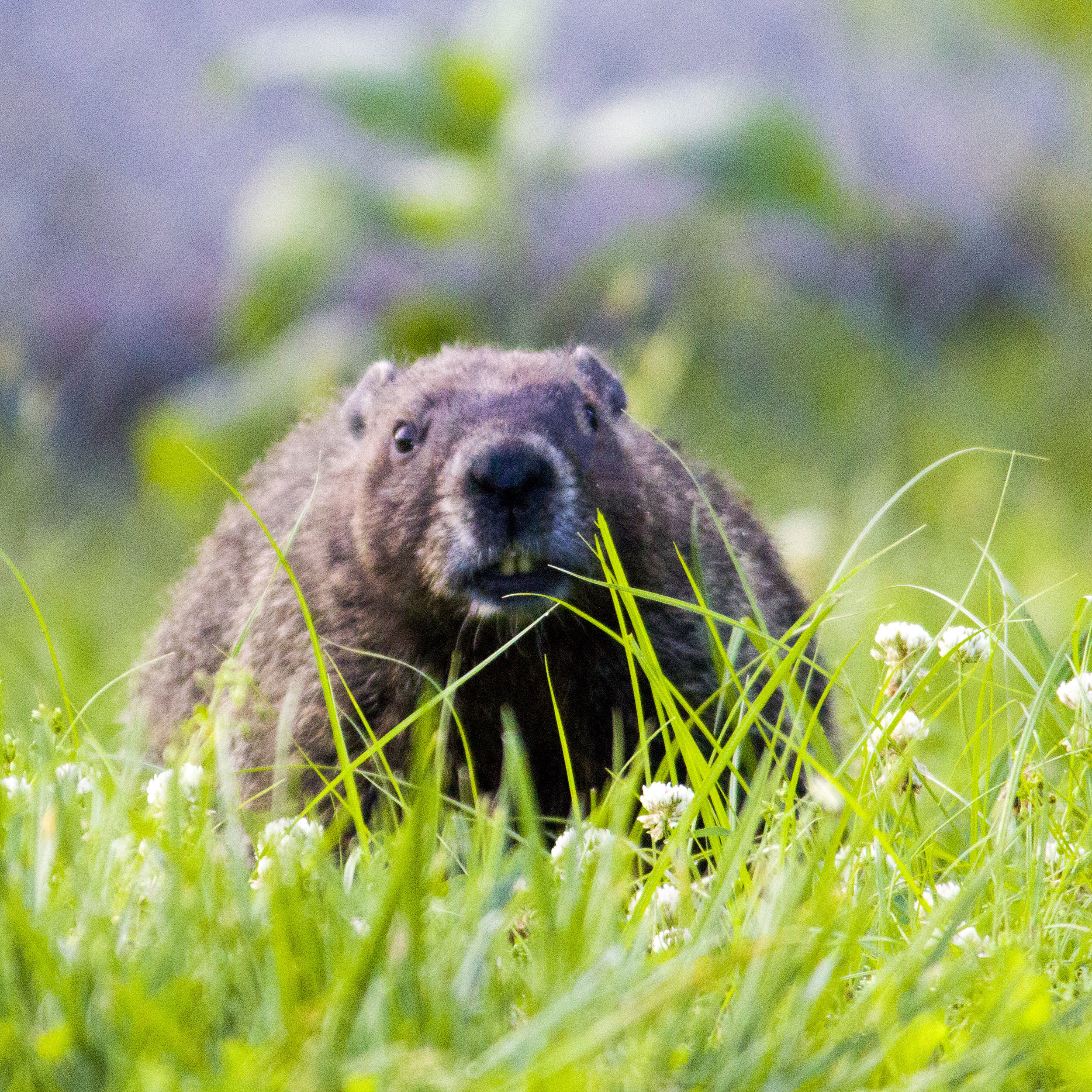 One of the groundhogs that used to live in my backyard.