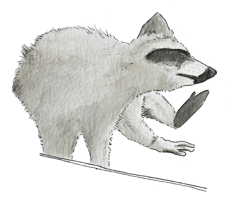 MPR Raccoon