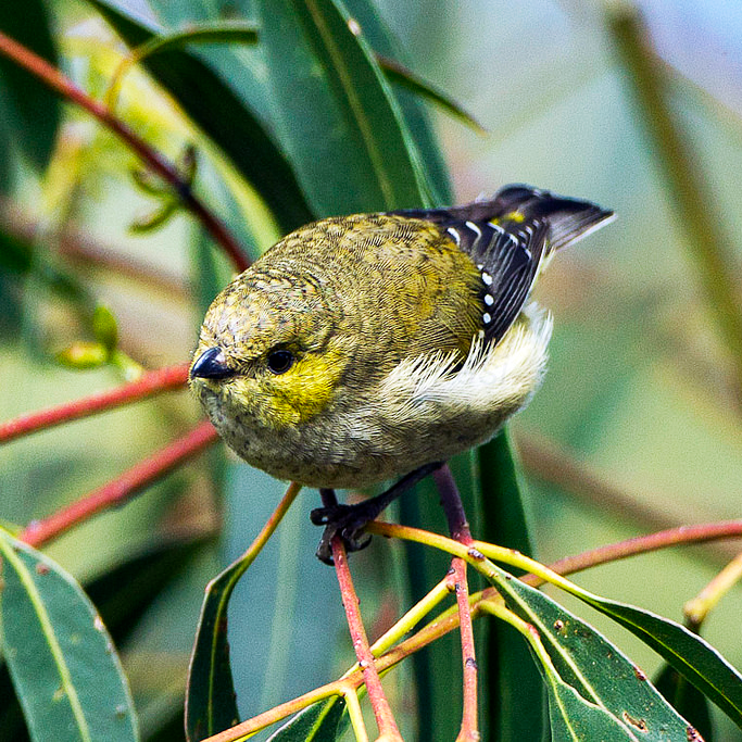 Forty-spotted_Pardalote.jpg