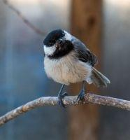 It only takes 3 hours a week. We have 4 shifts per day - 7 days a week. - songbirds@cwrescue.org