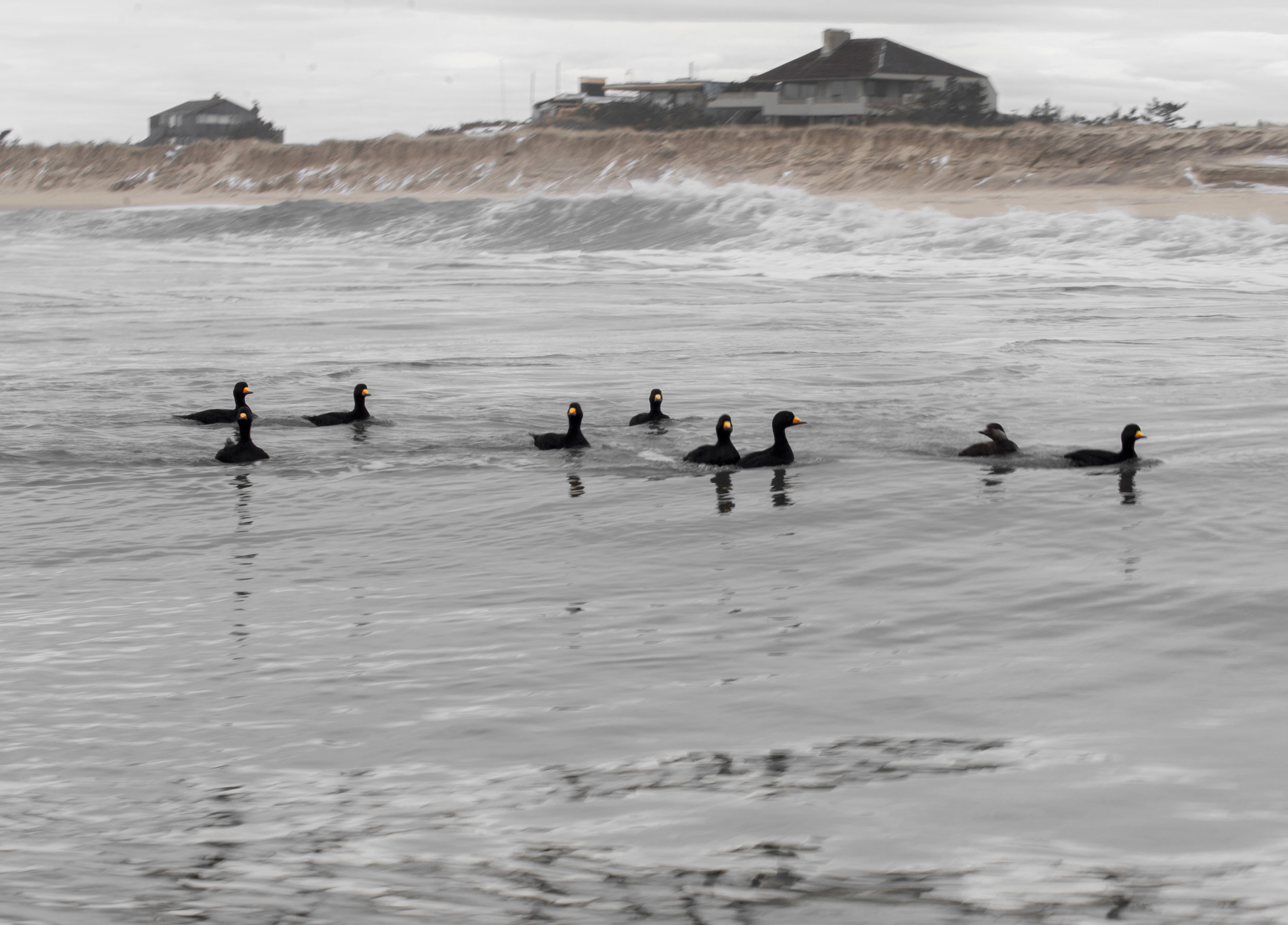 blackscoters_surf-2.jpg
