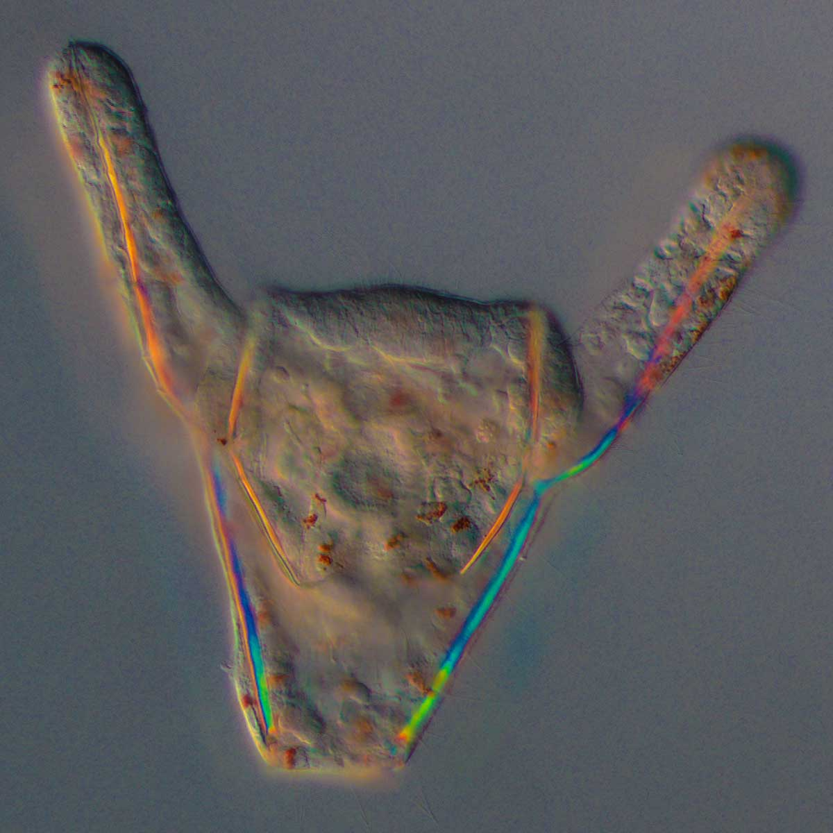 Pluteus larva of of the sea urchin  Lytechinus variegatus