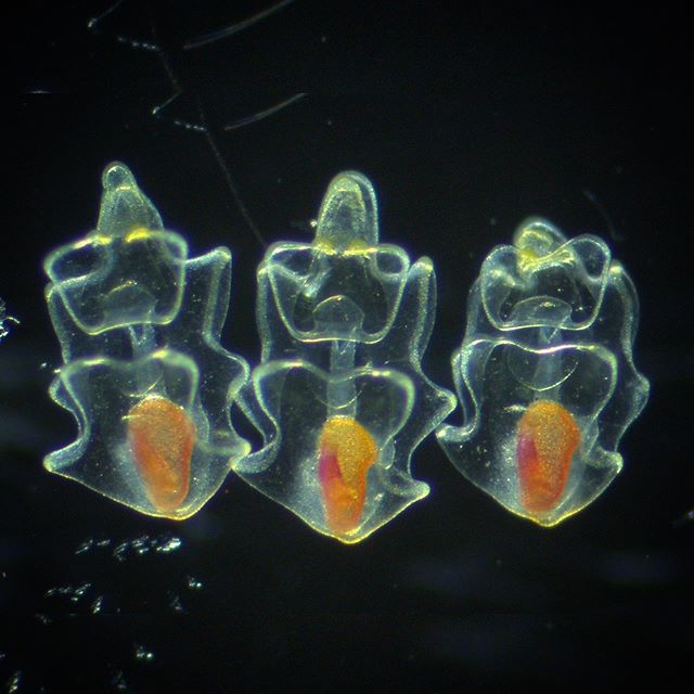 ⭐️ Star alert ⭐️ both the embryos and the undergrad who took their picture, @dekaismail_ !! Here we see three P.miniata bipinnaria larvae! The red you see? That's food in their stomachs!! ♥️ • #starfish #star #batstar #science #larvae #evolution #development #microscope #microscopy #sciencememes #embryo #embryology #scripsinstituteofoceanography #ucsd #ucsdscripps #scrippspier #lajolla #sciencephotography #marinebiology #zeiss